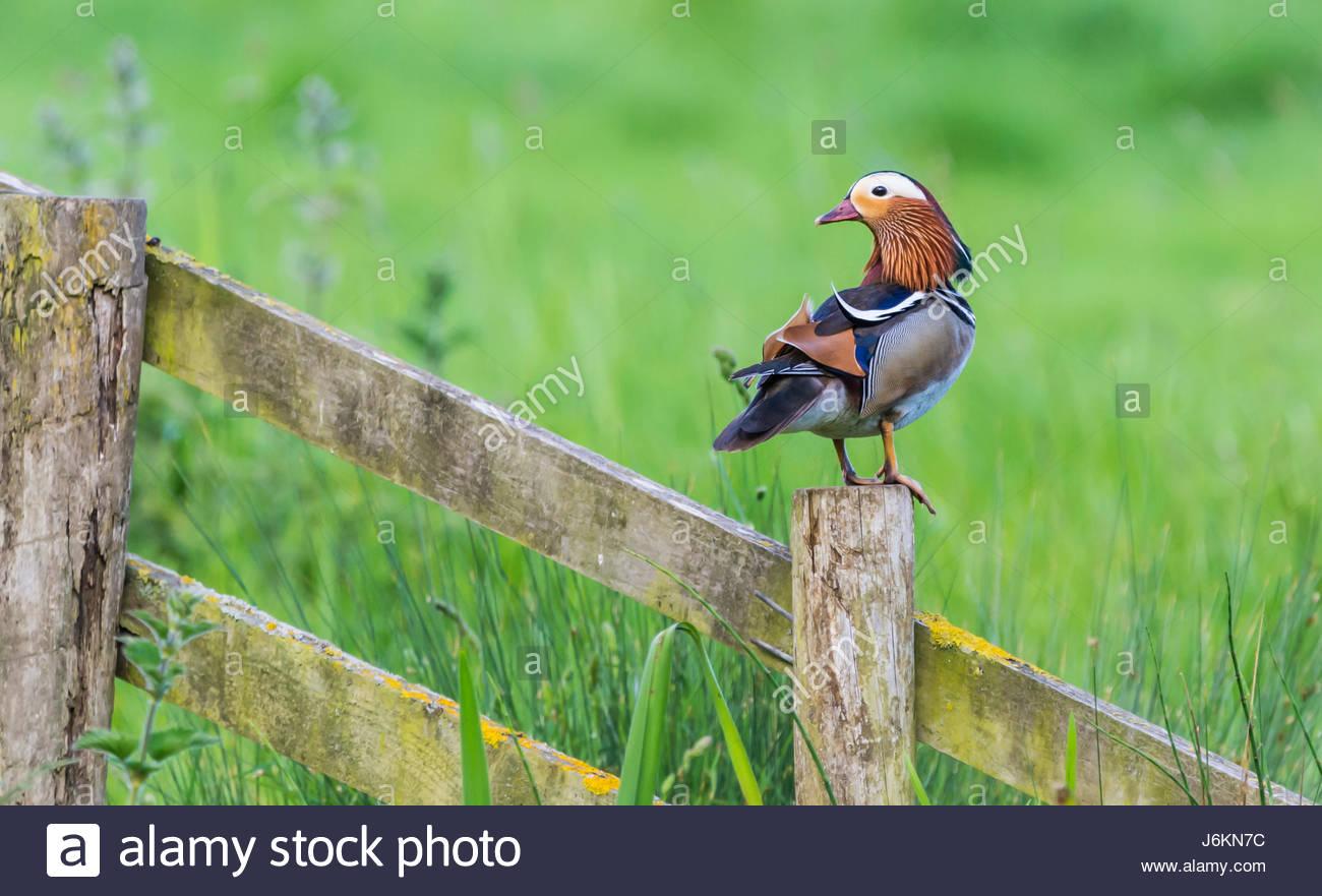 drake-mandarin-duck-aix-galericulata-in-