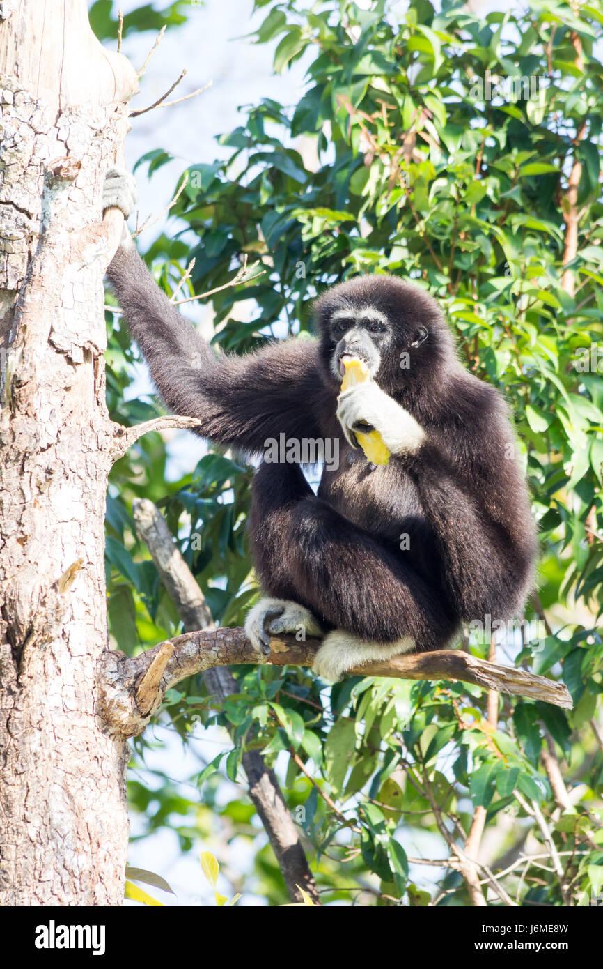 Monkeys eating bananas upside down
