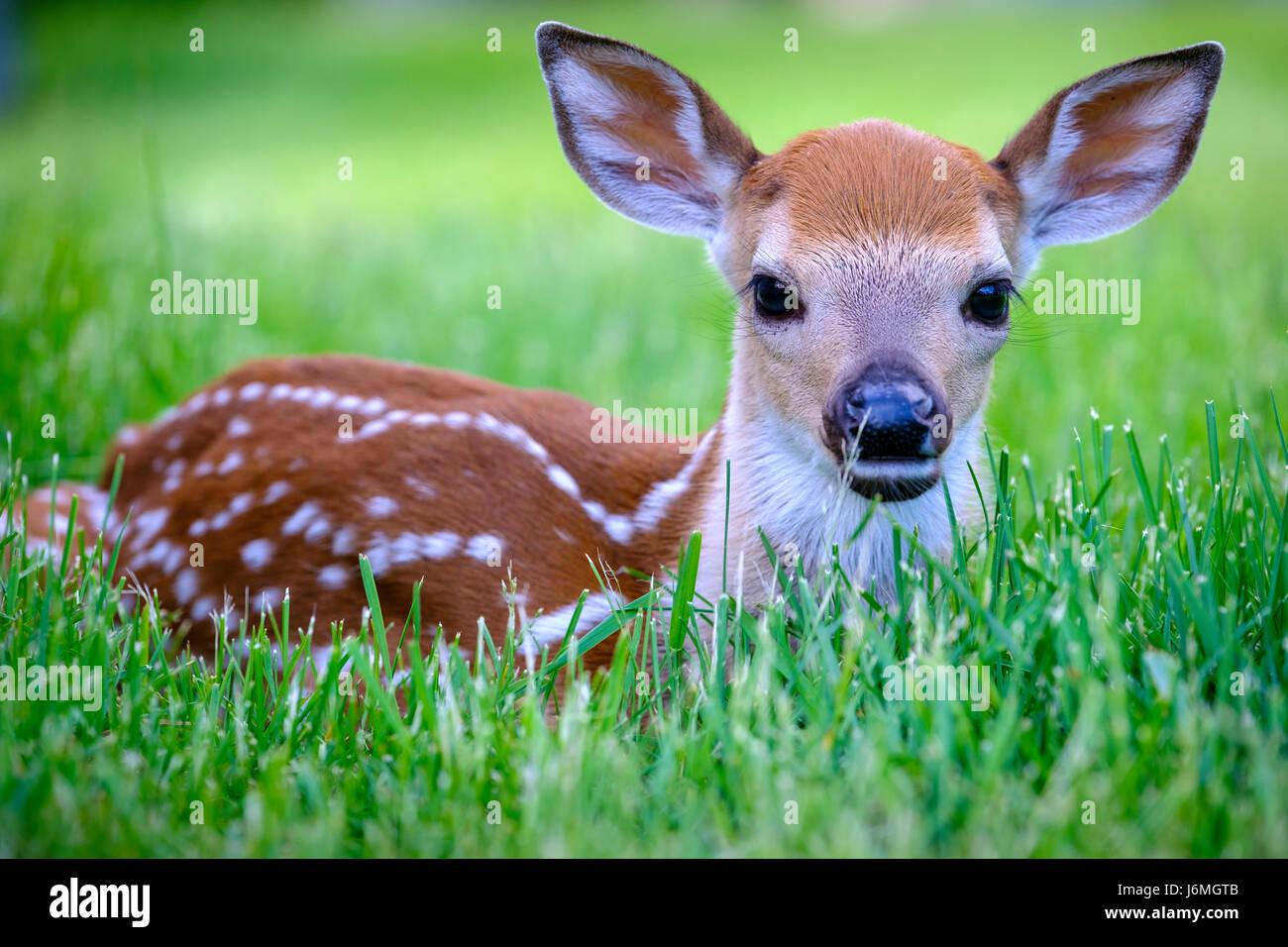 odocoileus-virginianus-white-tailed-deer