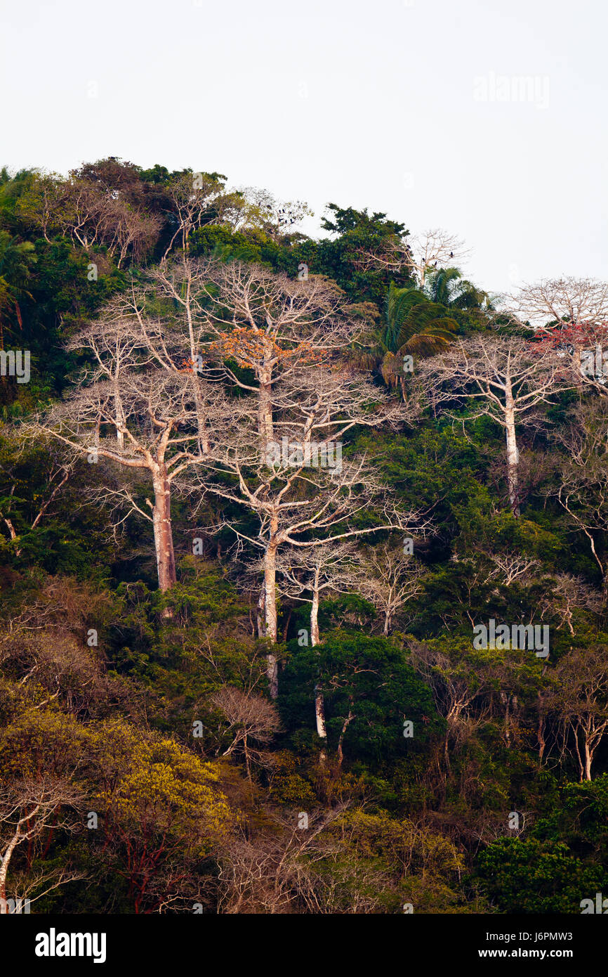 Rainforest beside Rio Chagres in Soberania National Park, Republic of Panama. The large trees are Cuipo trees, an - Stock-Bilder