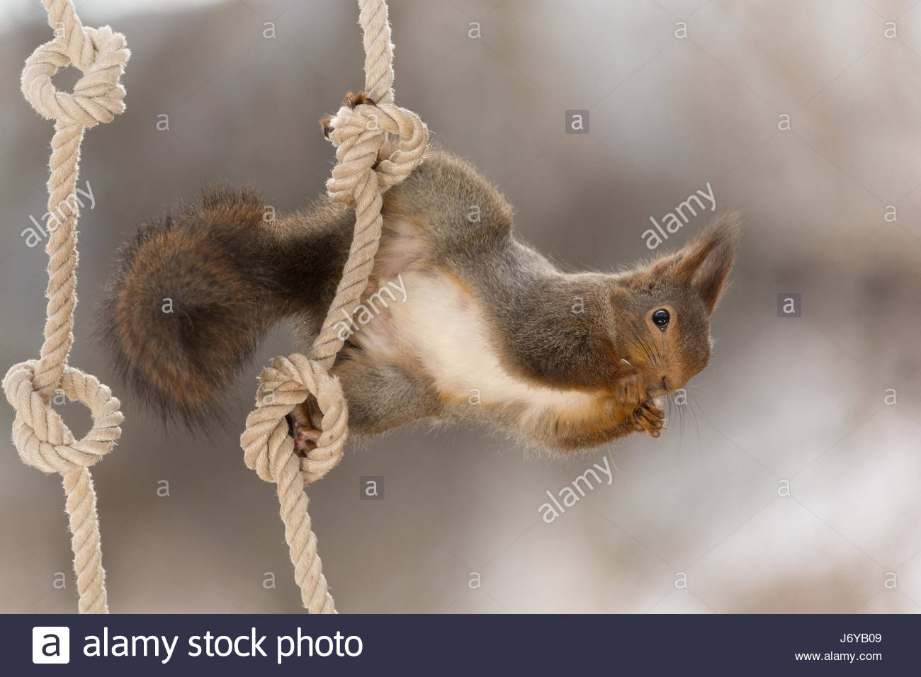 close-up-of-red-squirrel-hanging-on-the-