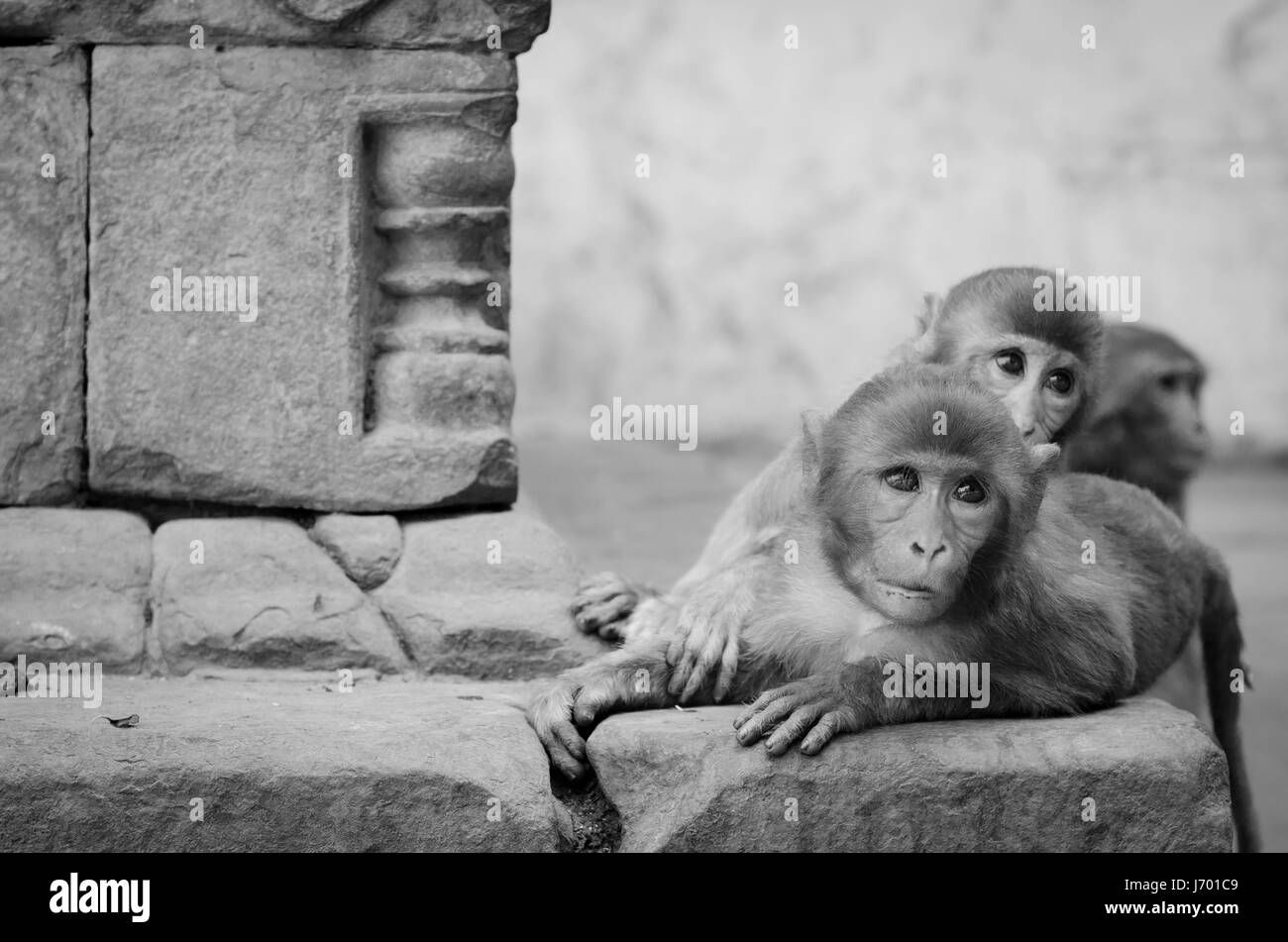 monochrome picture of monkeys playing at an Indian temple Stock Photo