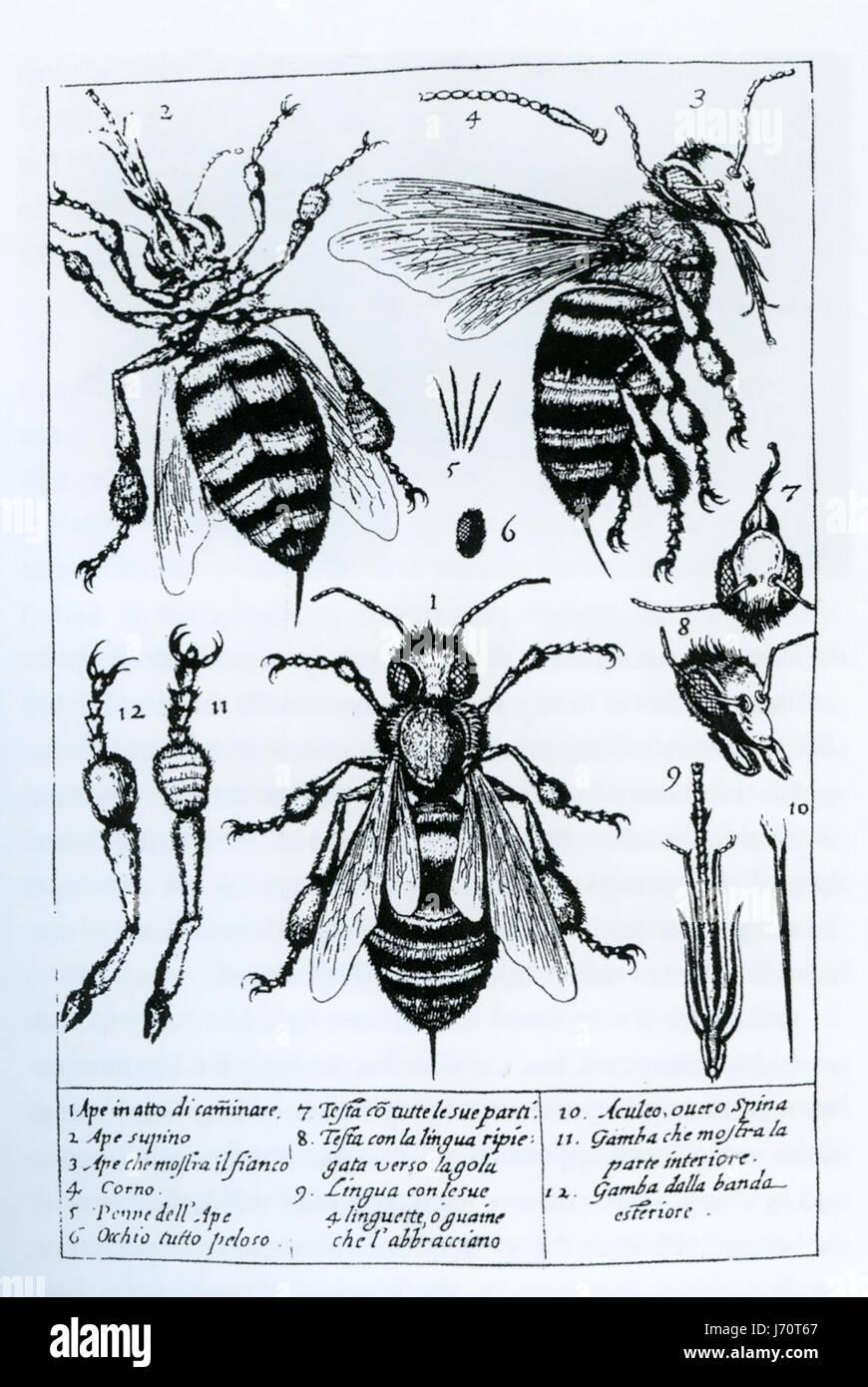 FRANCESCO STELLUTI (1577-1652) Italian polymath. Microscope drawings from his 1630 book 'Persio tradotto  in - Stock-Bilder