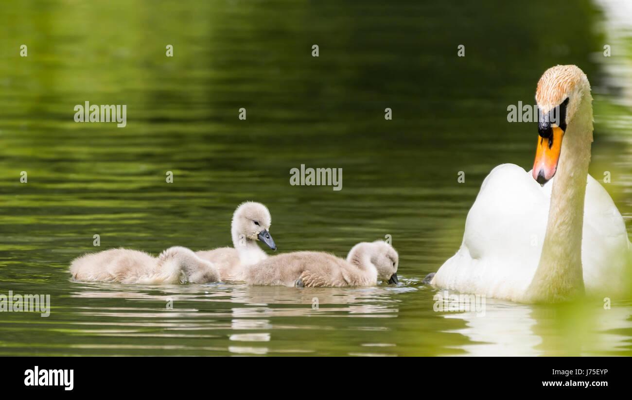 cygnets-white-mute-swan-cygnus-olorfamil
