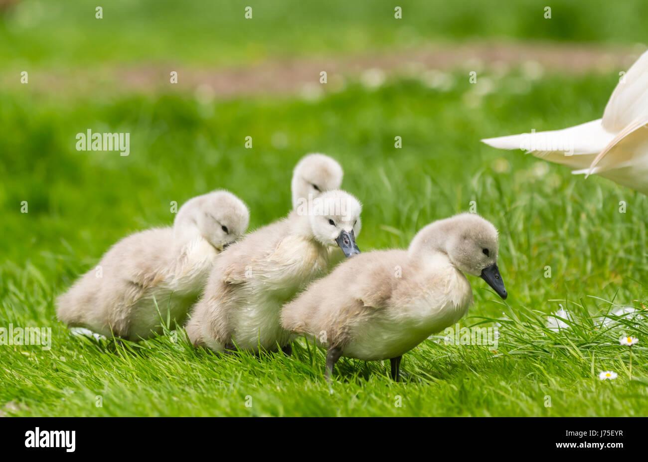 cygnets-white-mute-swan-cygnus-olorcygne