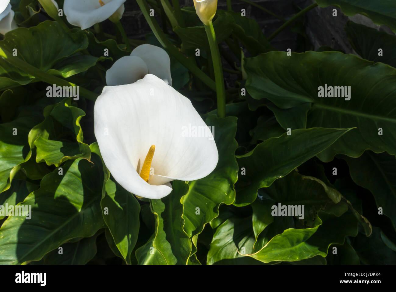 zantedeschia-aethiopica-hardy-white-arum