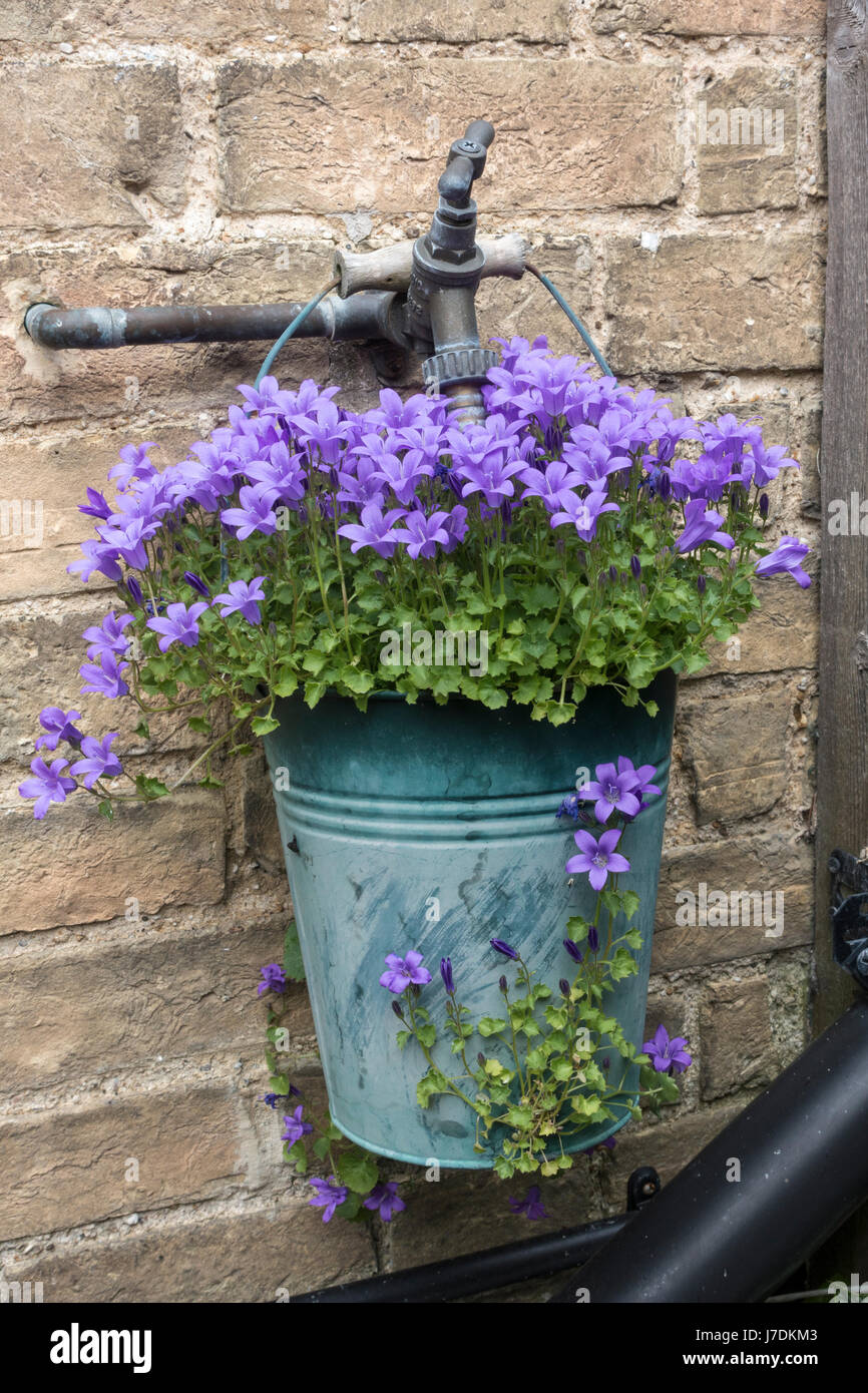 campanula-plant-in-small-bucket-hanging-