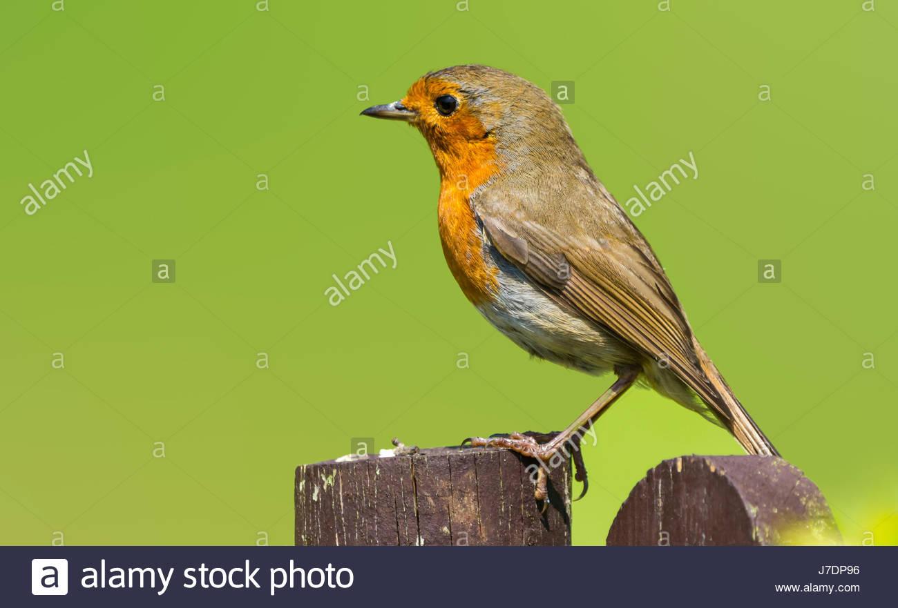 robin-redbreast-adult-european-robin-eri