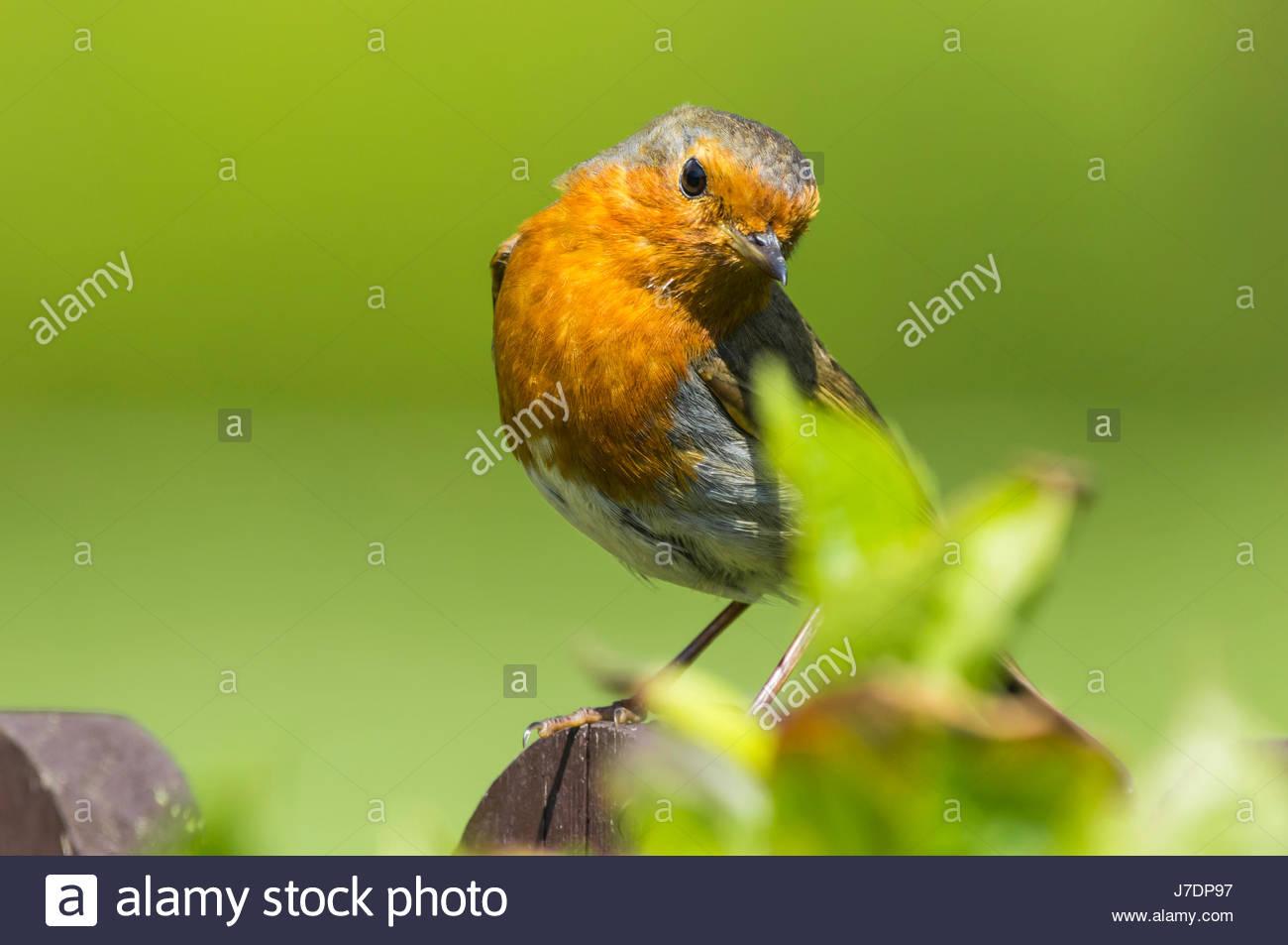 erithacus-rubecula-adult-european-robin-