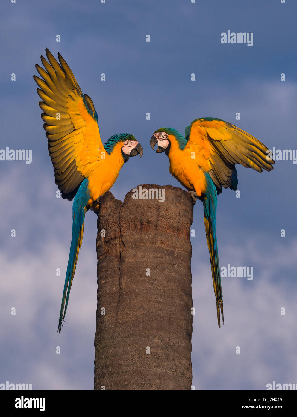A pair of Blue-and-yellow  Macaw meet at their nest site Stock Photo