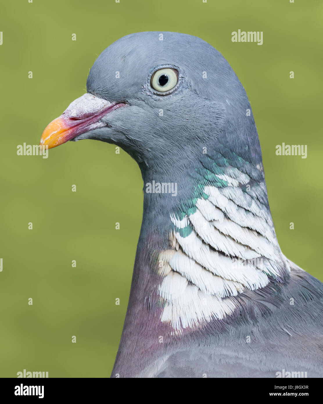 pigeon-head-and-neck-macro-common-wood-pigeon-columba-palumbus-closeup-J8GX3R.jpg