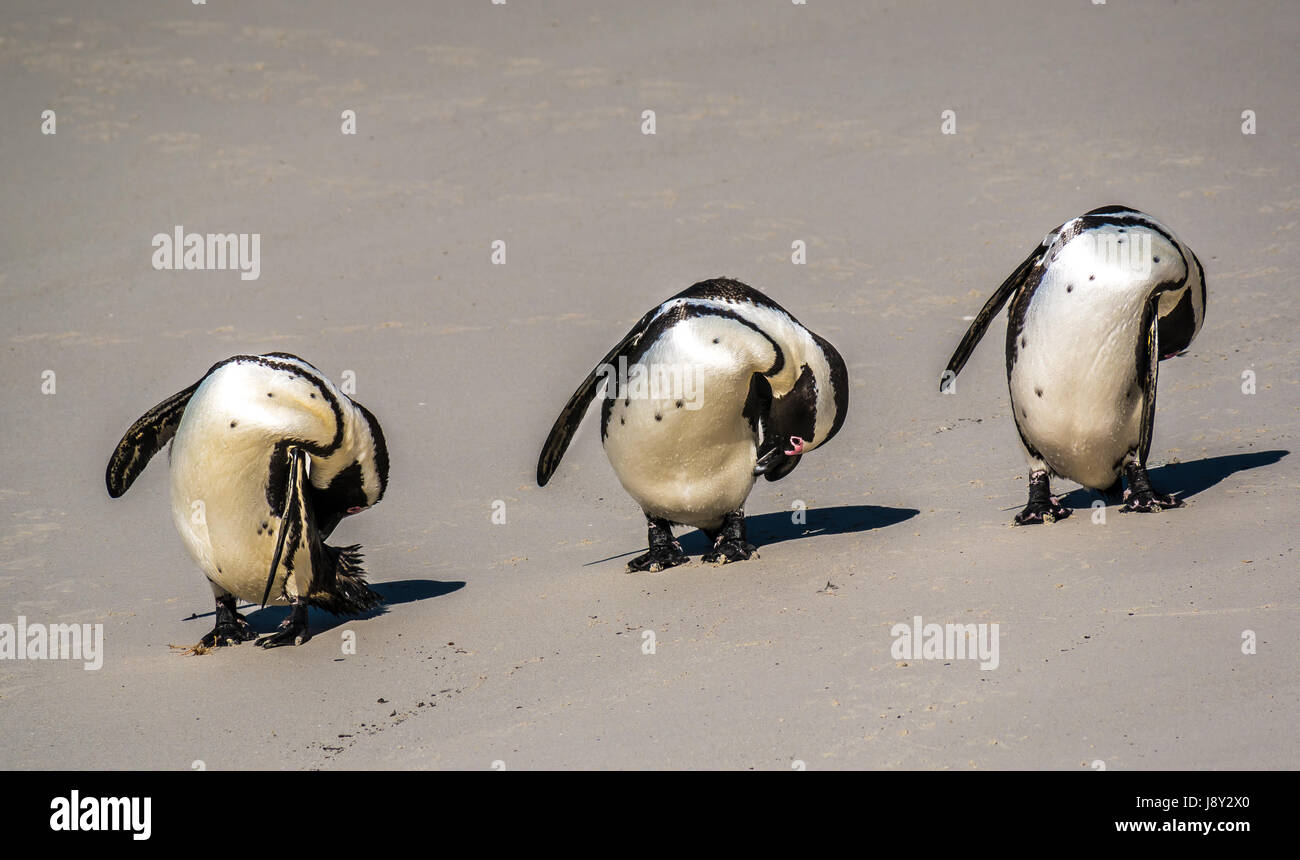 a-trio-of-african-or-jackass-penguins-in-the-beach-colony-at-simons-J8Y2X0.jpg