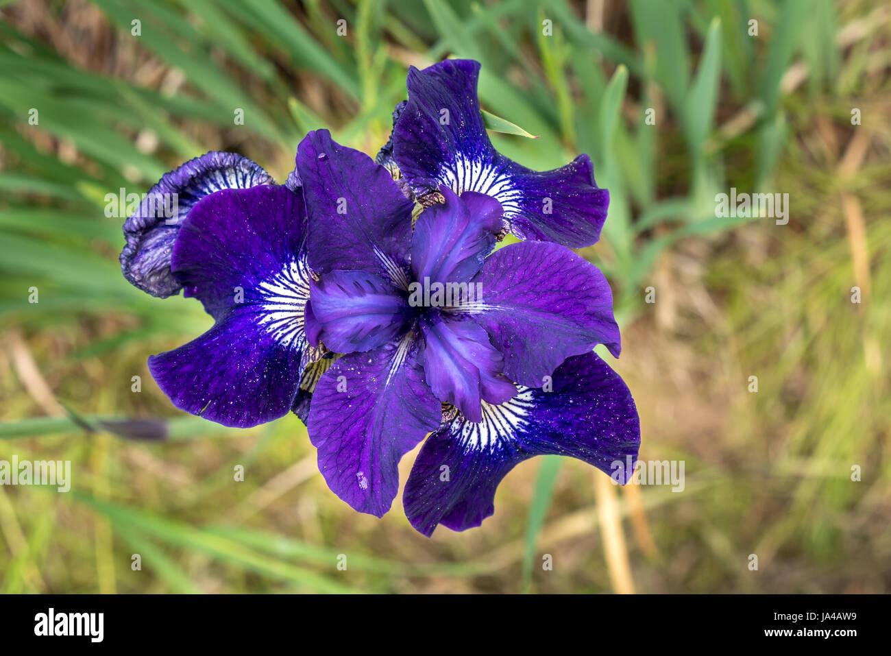 close-up-of-a-beardless-purple-iris-in-s