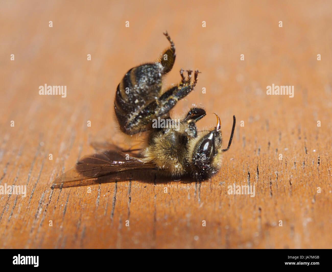 a-dead-bee-JA7MGB.jpg
