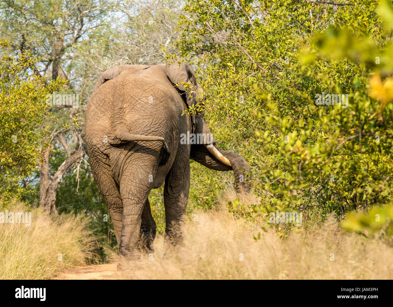 african-bull-elephant-in-must-indicated-