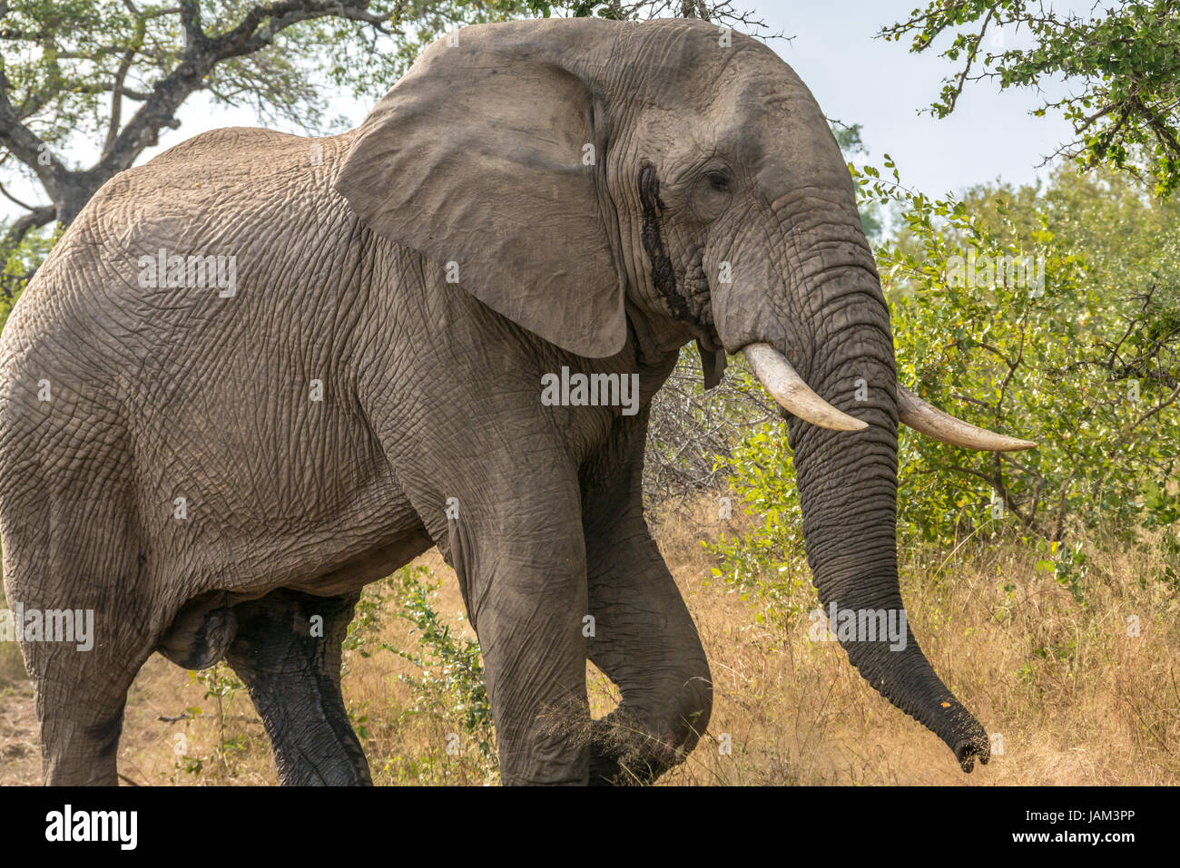 close-up-of-male-african-bull-elephant-l