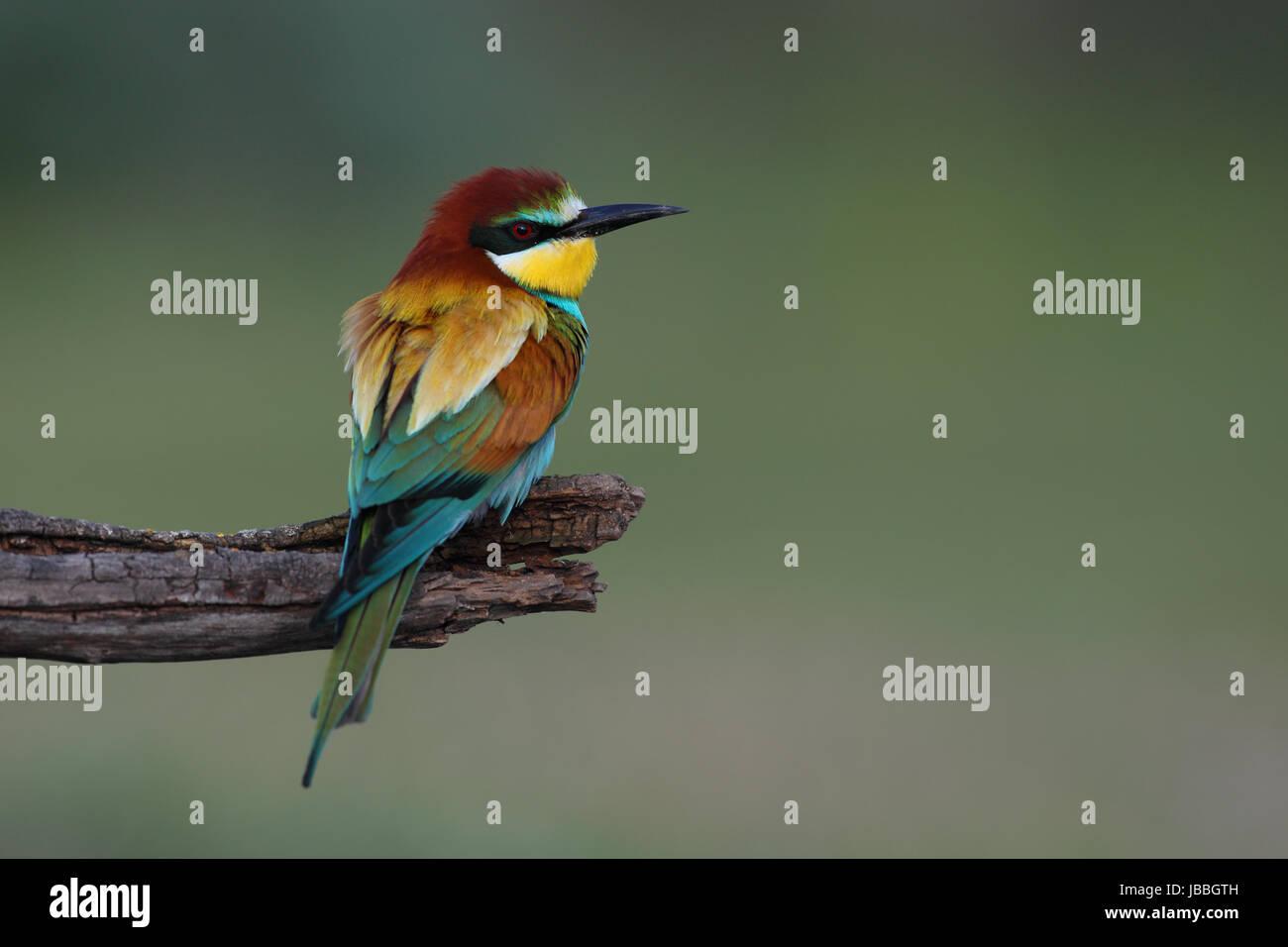 european-bee-eater-merops-apiaster-JBBGT