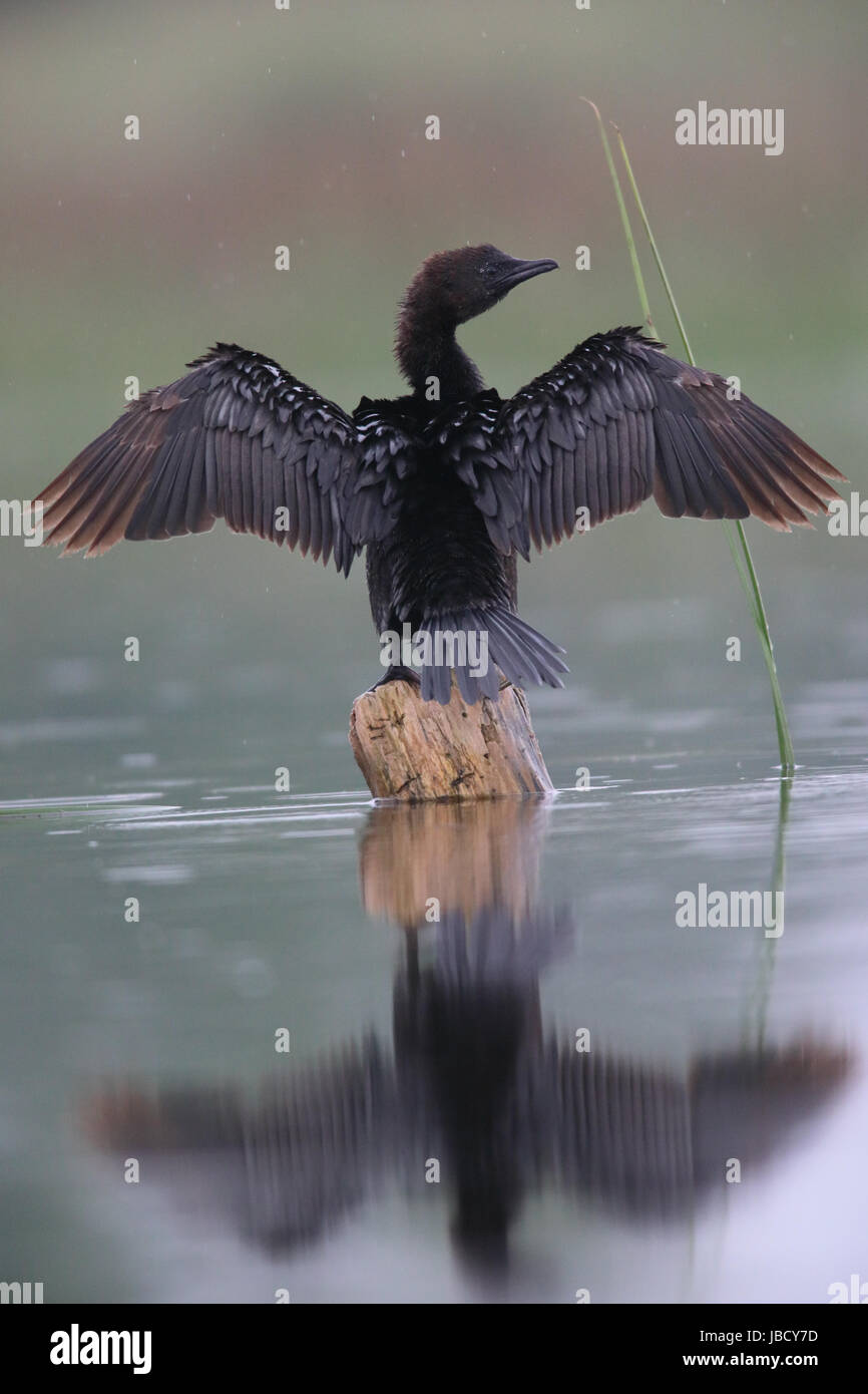 pygmy-cormorant-microcarbo-pygmeus-in-th