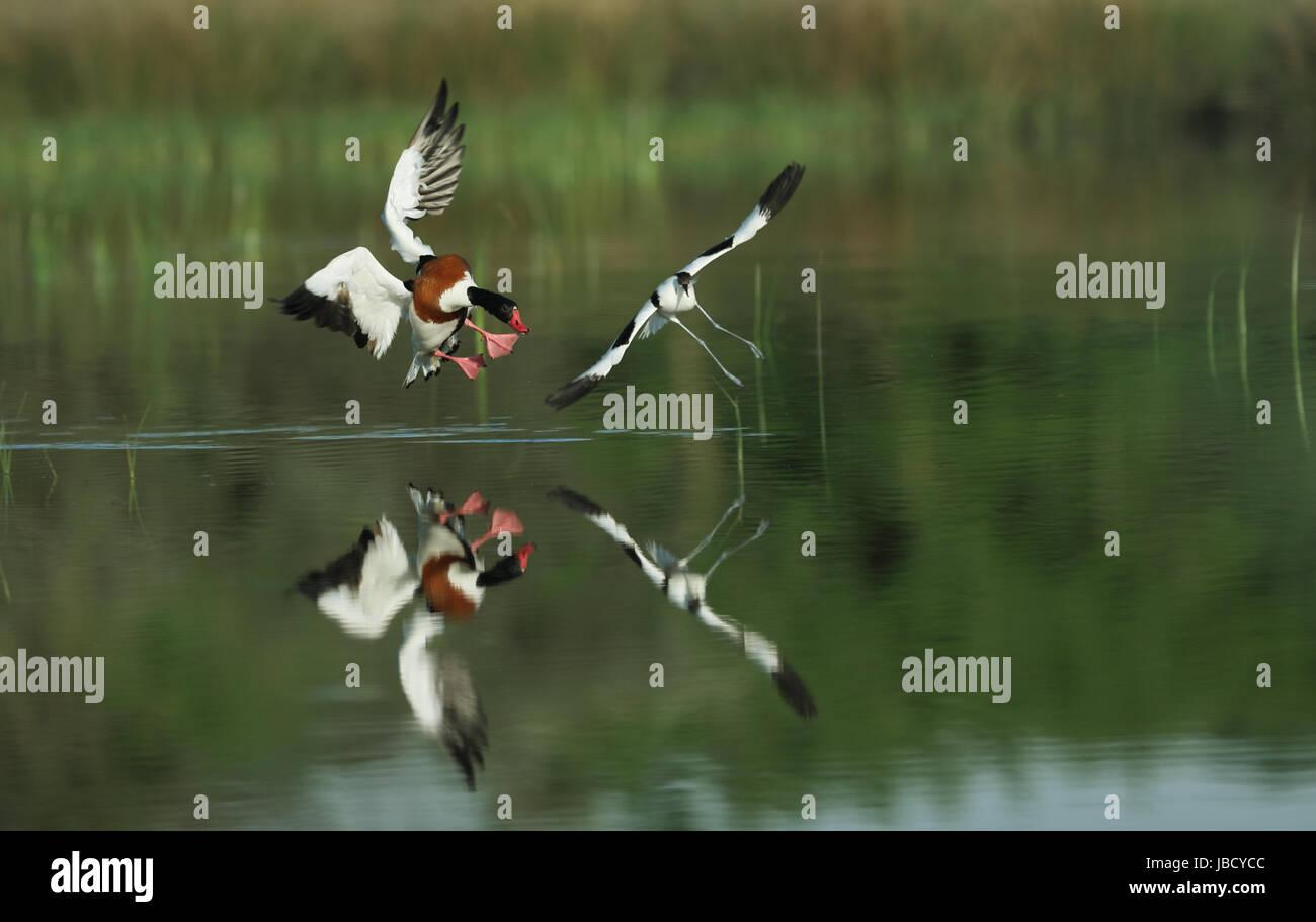 pied-avocet-recurvirostra-avosetta-being