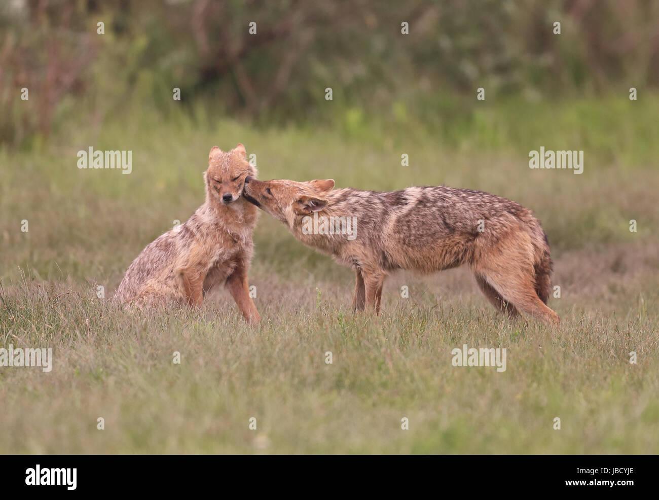 golden-jackal-or-european-jackal-canis-a