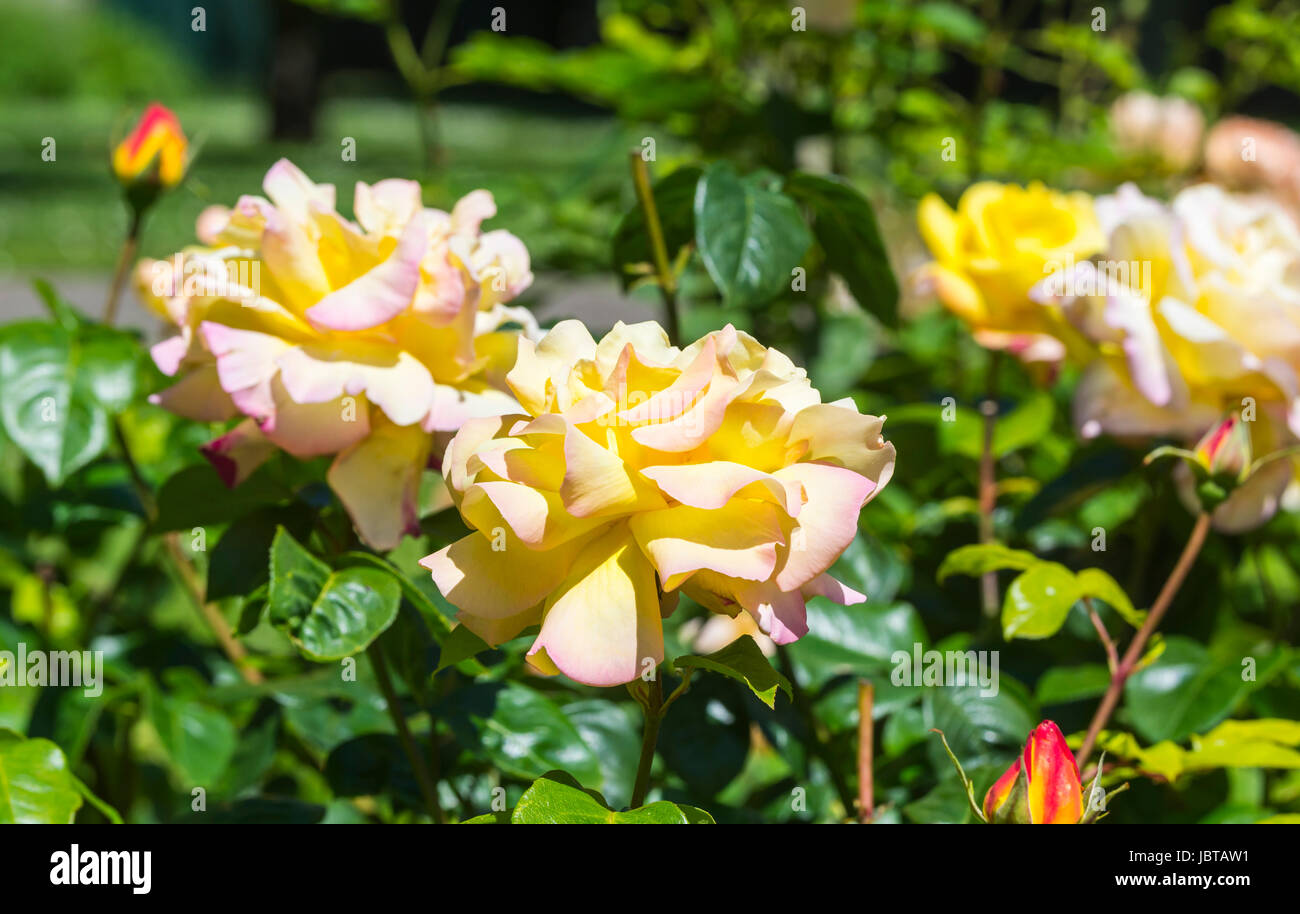 Rosa banksiae 'Lutea' (AKA Lady Banks' Rose) growing in early Summer in the UK. Stock Photo