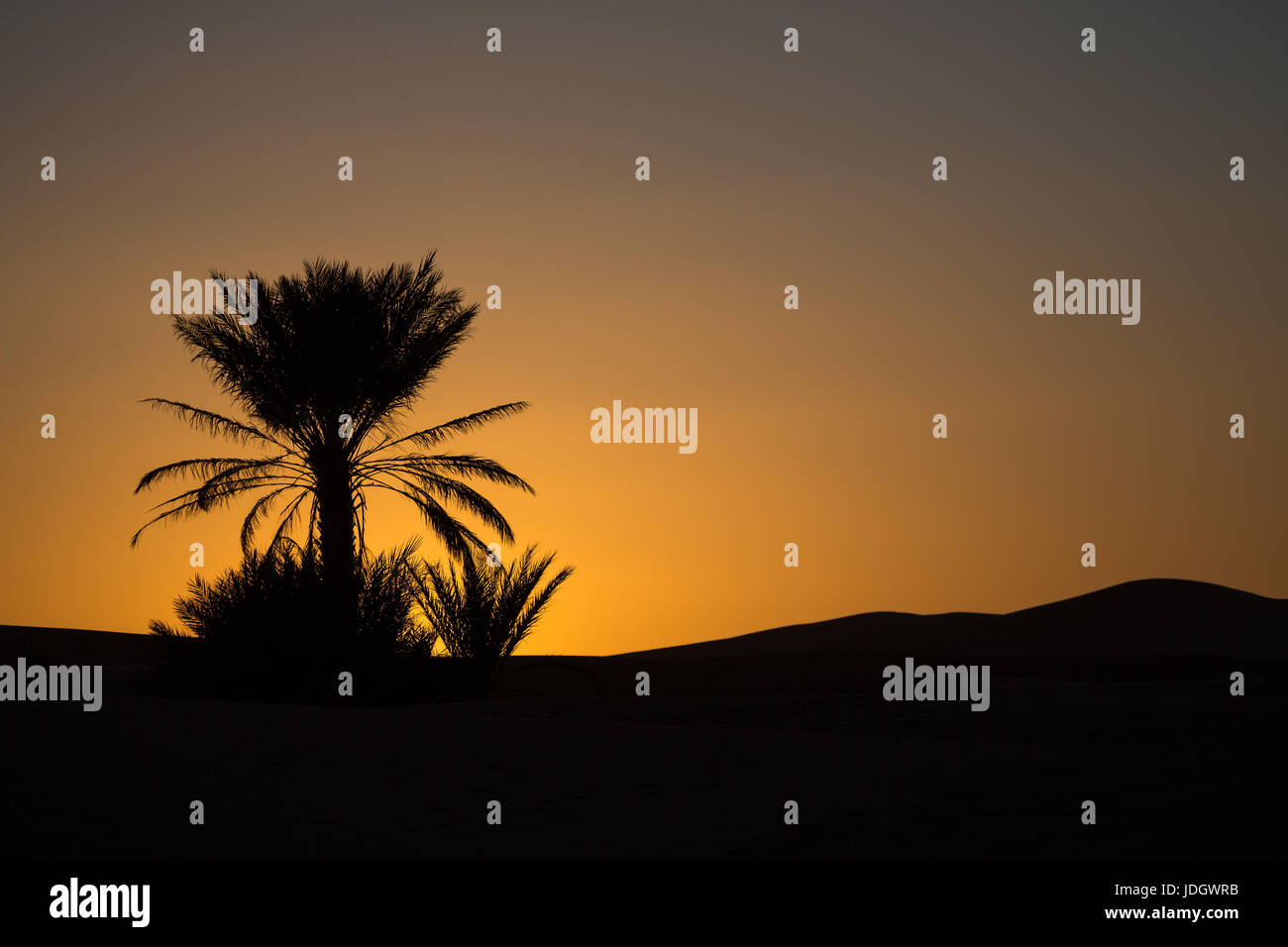 Low orange light shows the setting sun behind the silhouette of a date palm in the desert of Morocco Stock Photo