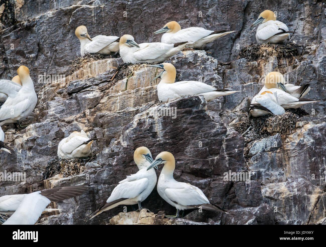 gannets-mores-bassanus-nesting-on-bass-r