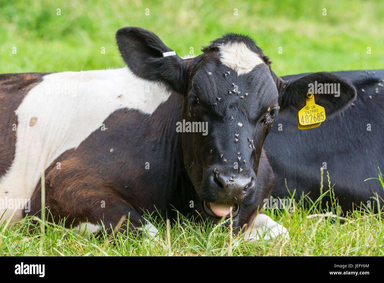 cow-with-flies-on-its-head-laying-down-JEFY6M.jpg
