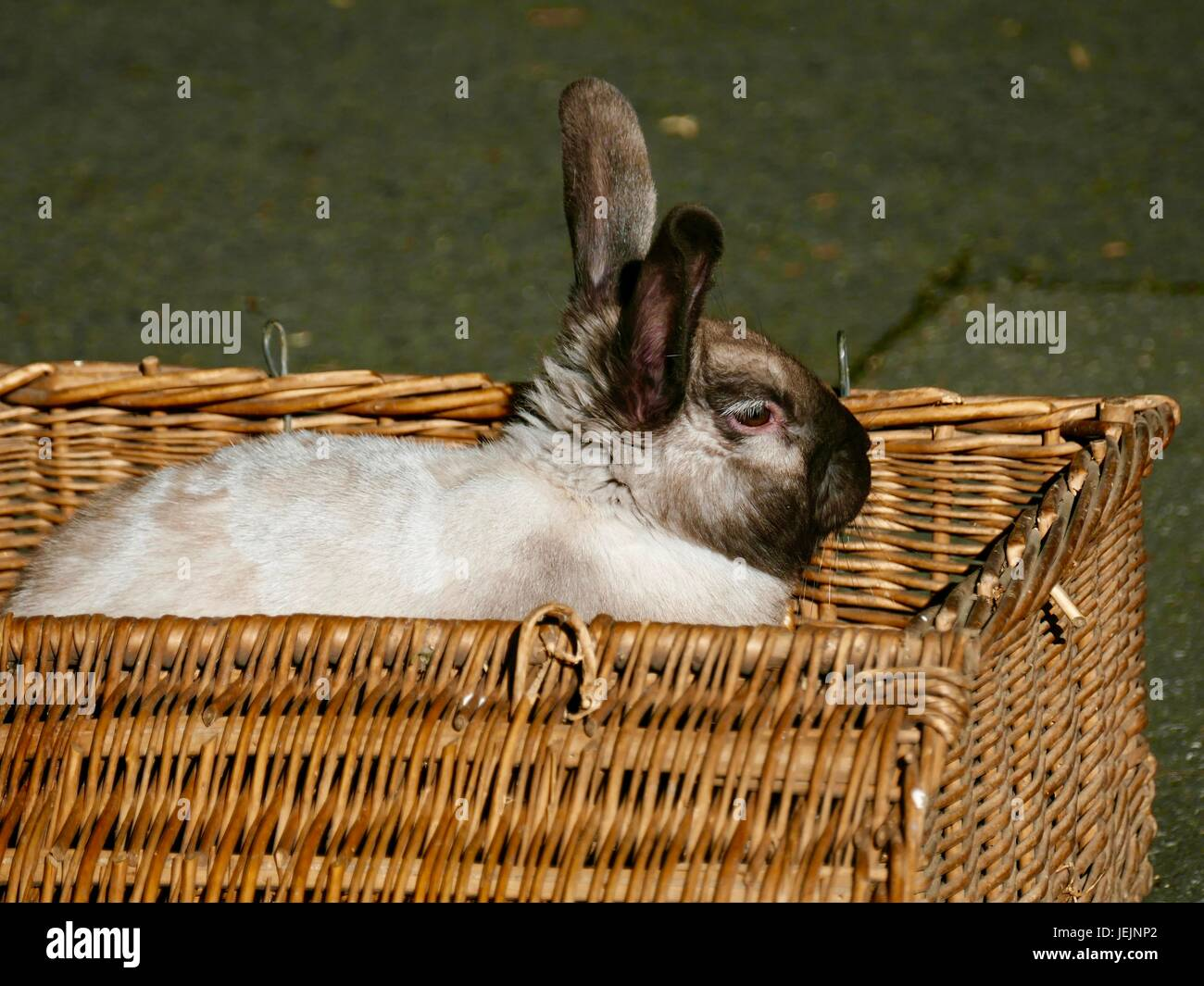 large-white-rabbit-with-black-head-and-o