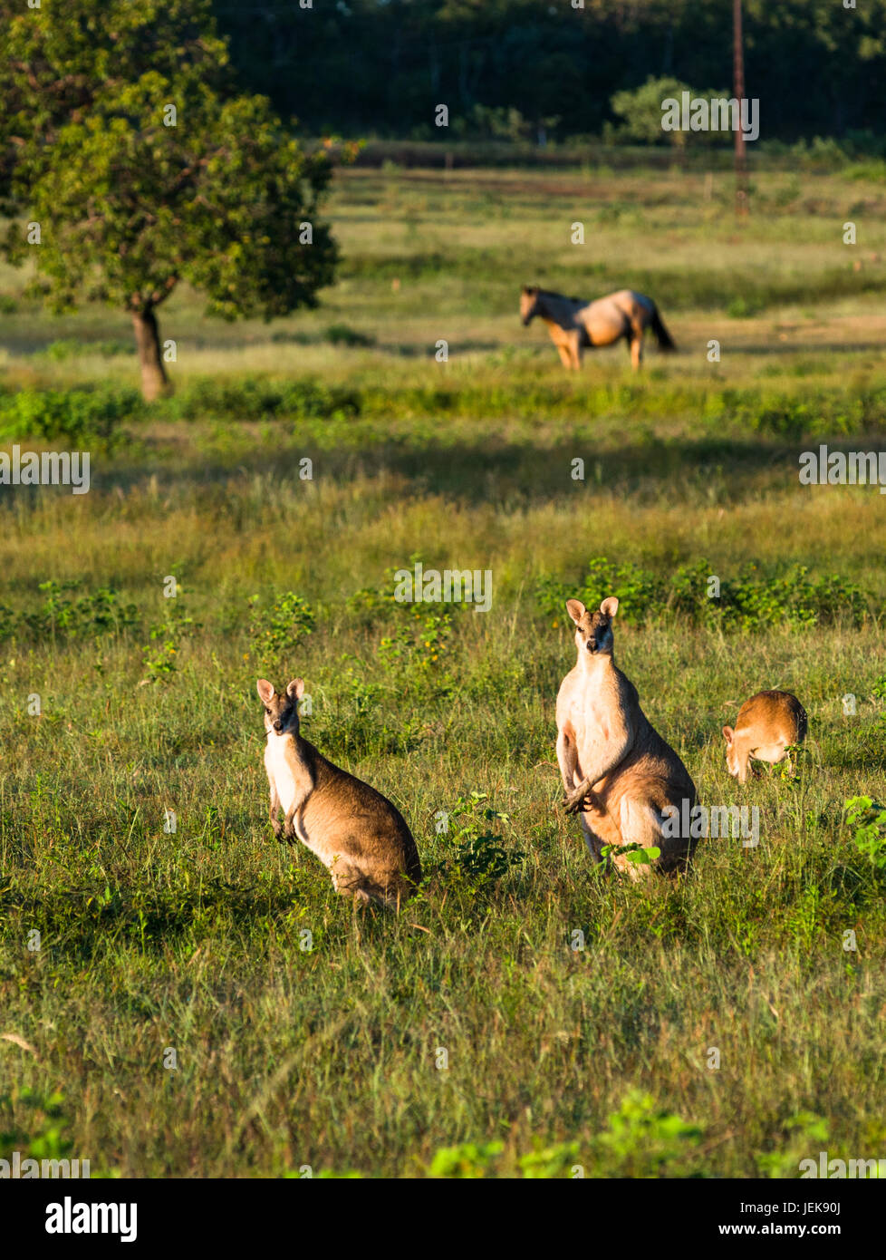 wallabies-in-farmers-field-near-kakadu-n