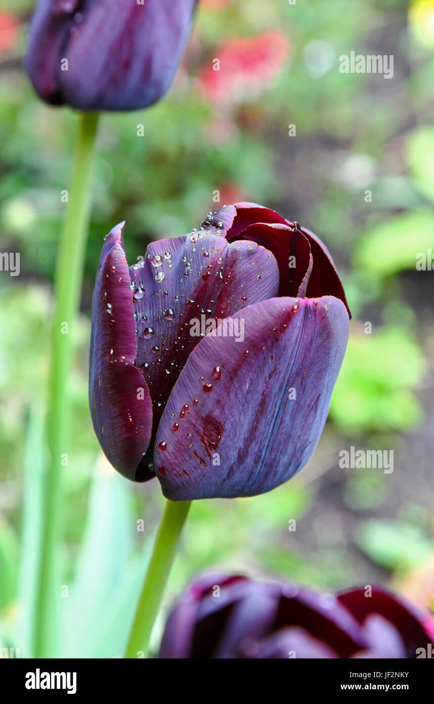 the-black-flowers-of-tulipa-queen-of-nig