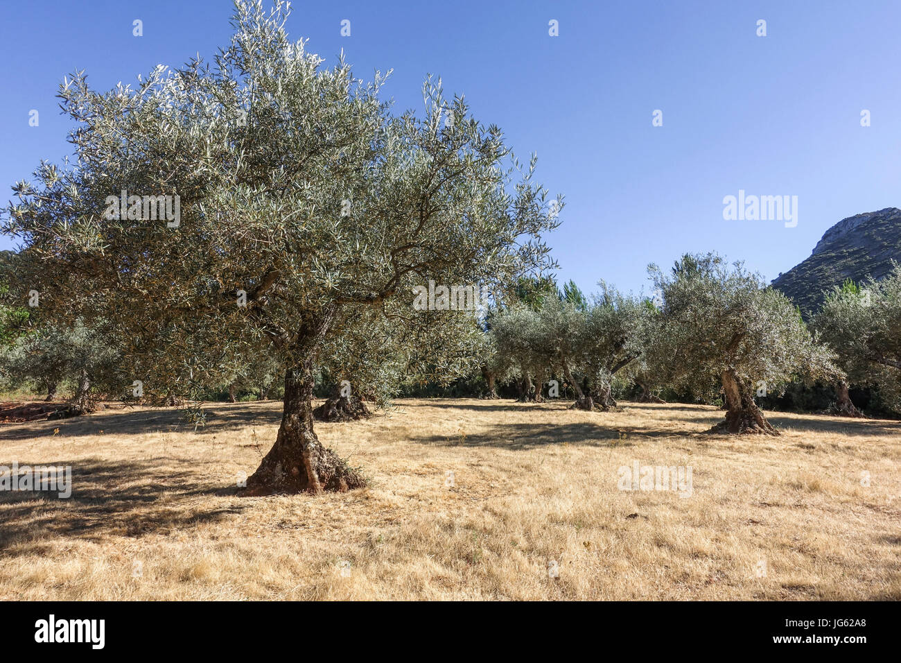 dry-orchard-of-olive-trees-mediterranean