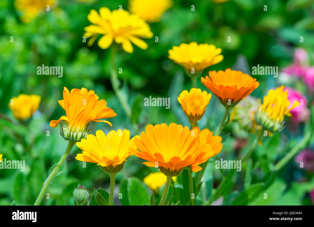 Pot Marigold plant (Calendula officinalis) flowers in bloom in Summer in the UK. AKA Common Marigold, Ruddles, Scotch Stock Photo