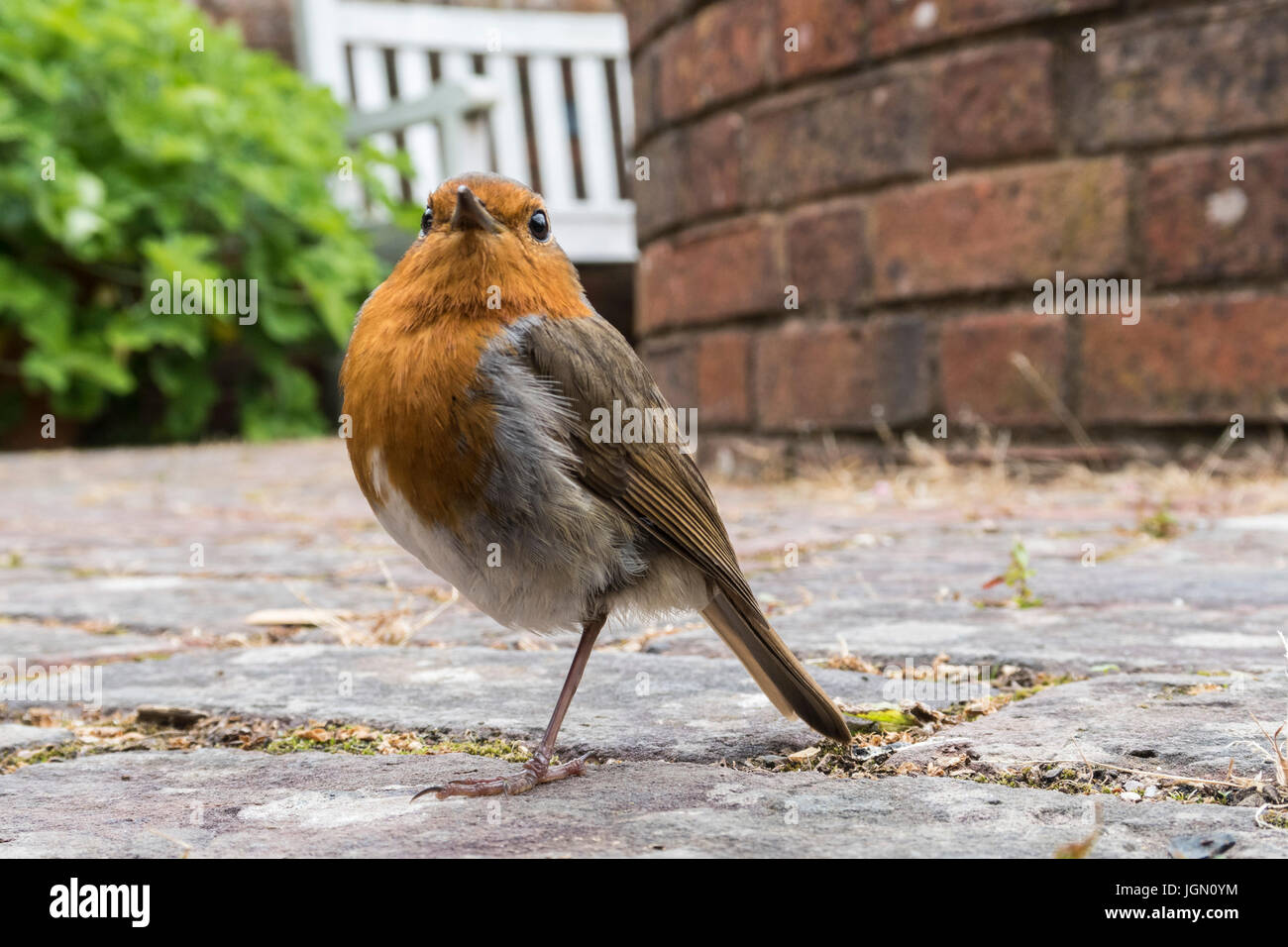 a-robin-bird-standing-on-one-leg-erithac