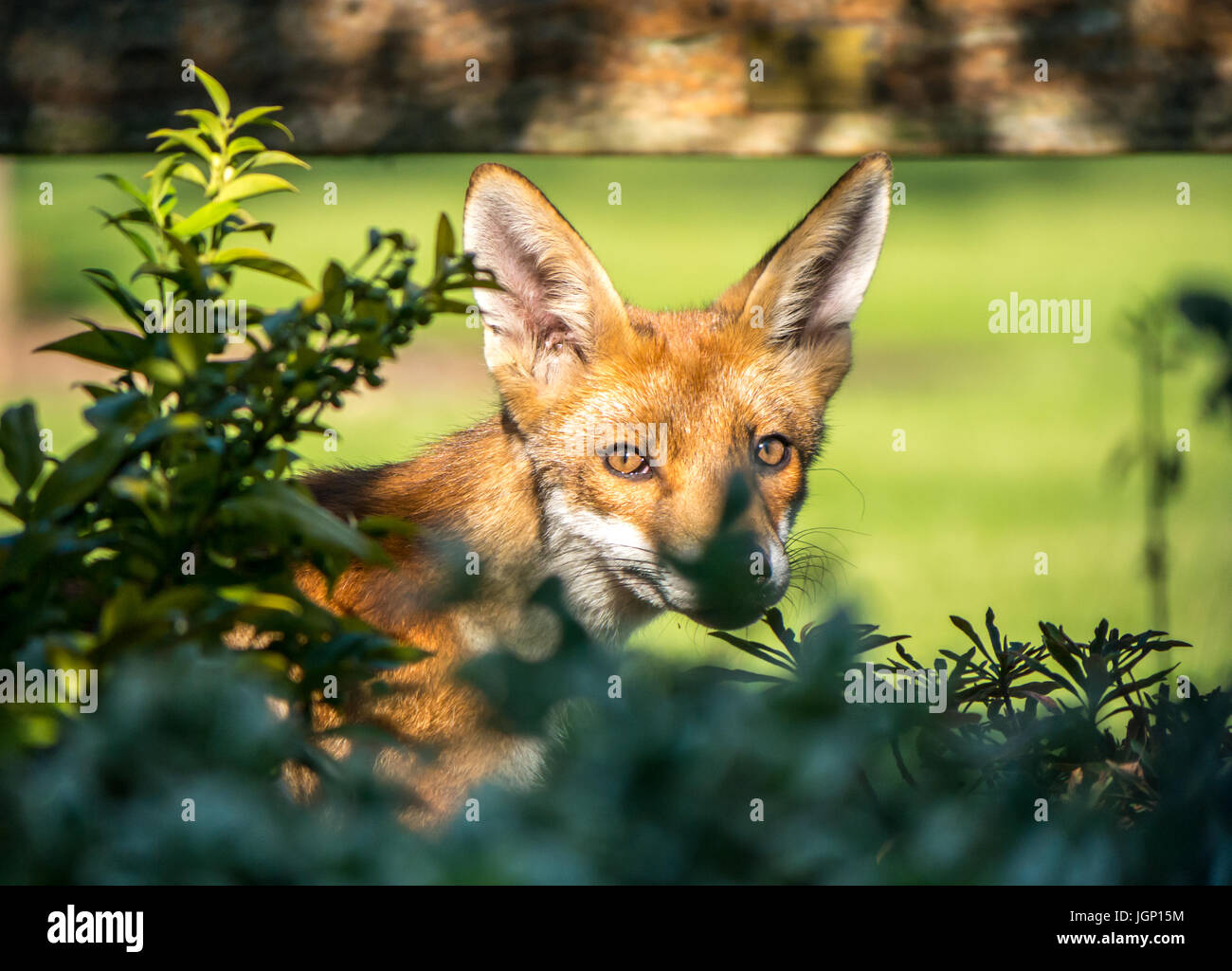 close-up-of-an-urban-fox-in-a-london-gar