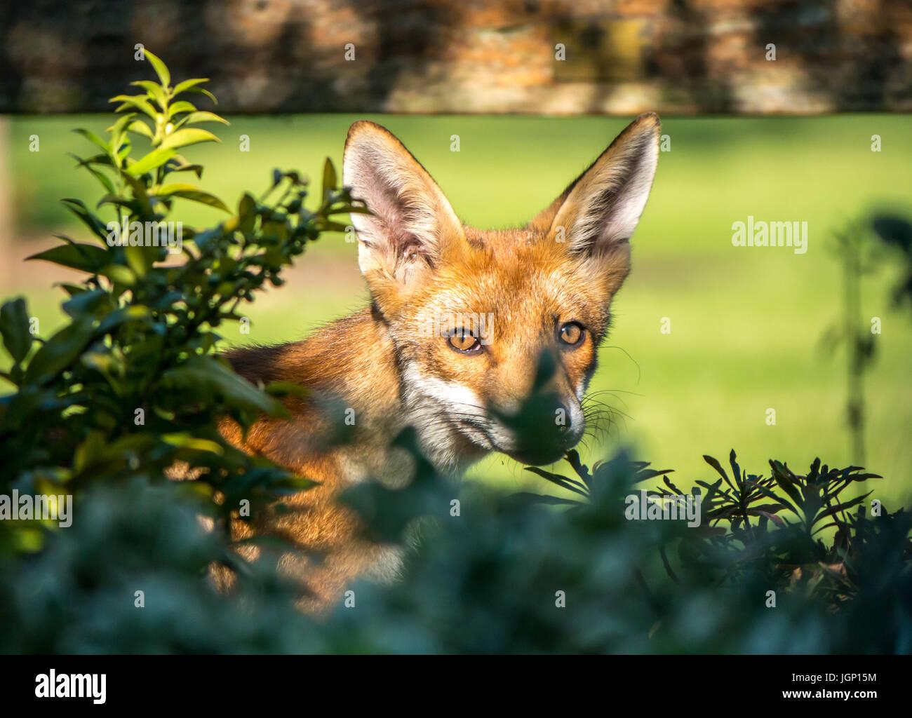 close-up-of-an-urban-fox-in-a-london-gar