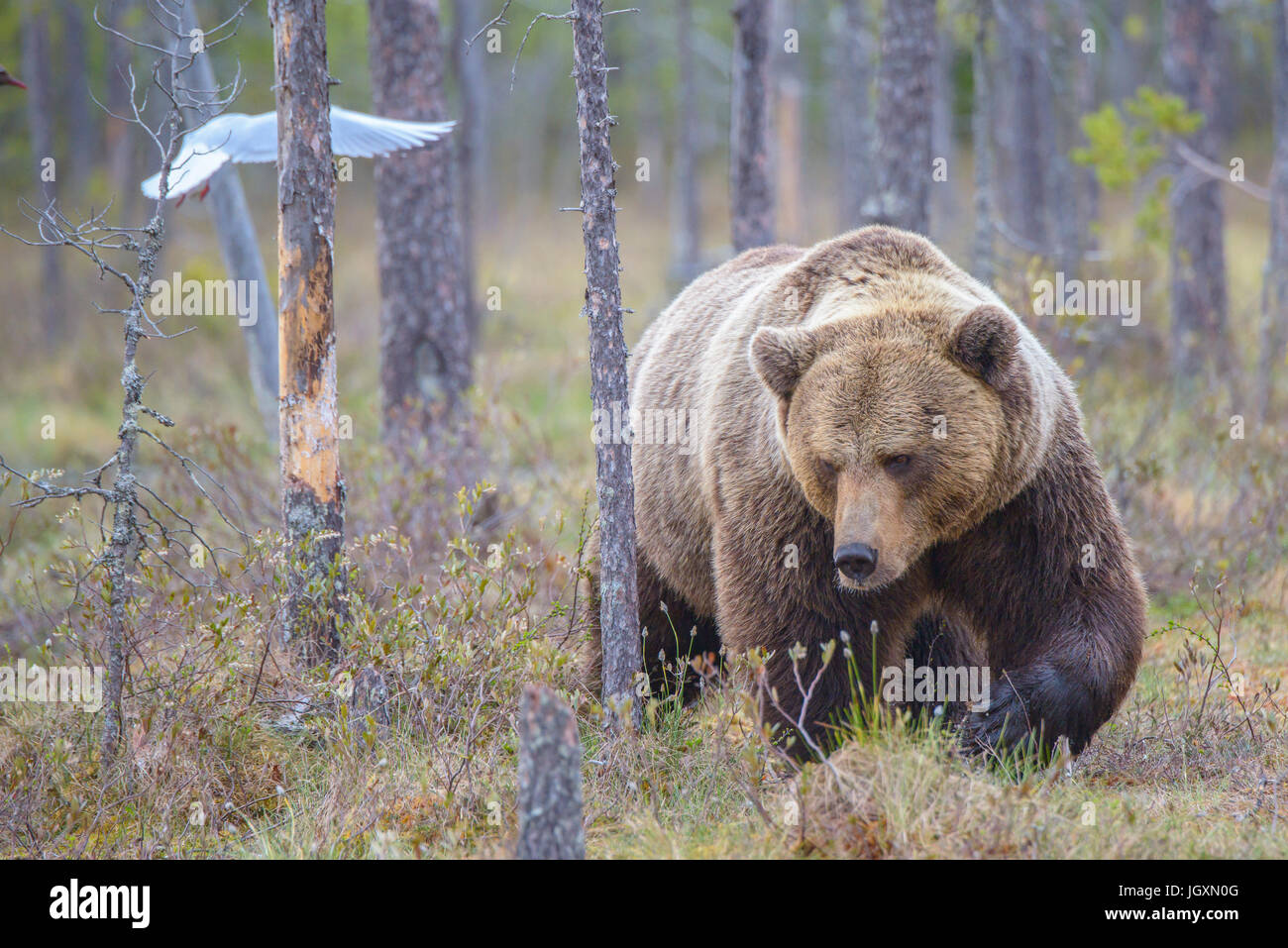 wild-eurasian-brown-bear-ursus-arctos-ar
