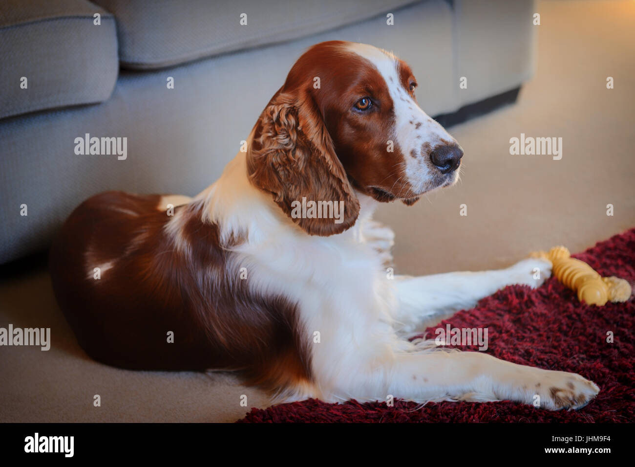 a-prize-winning-welsh-springer-spaniel-J