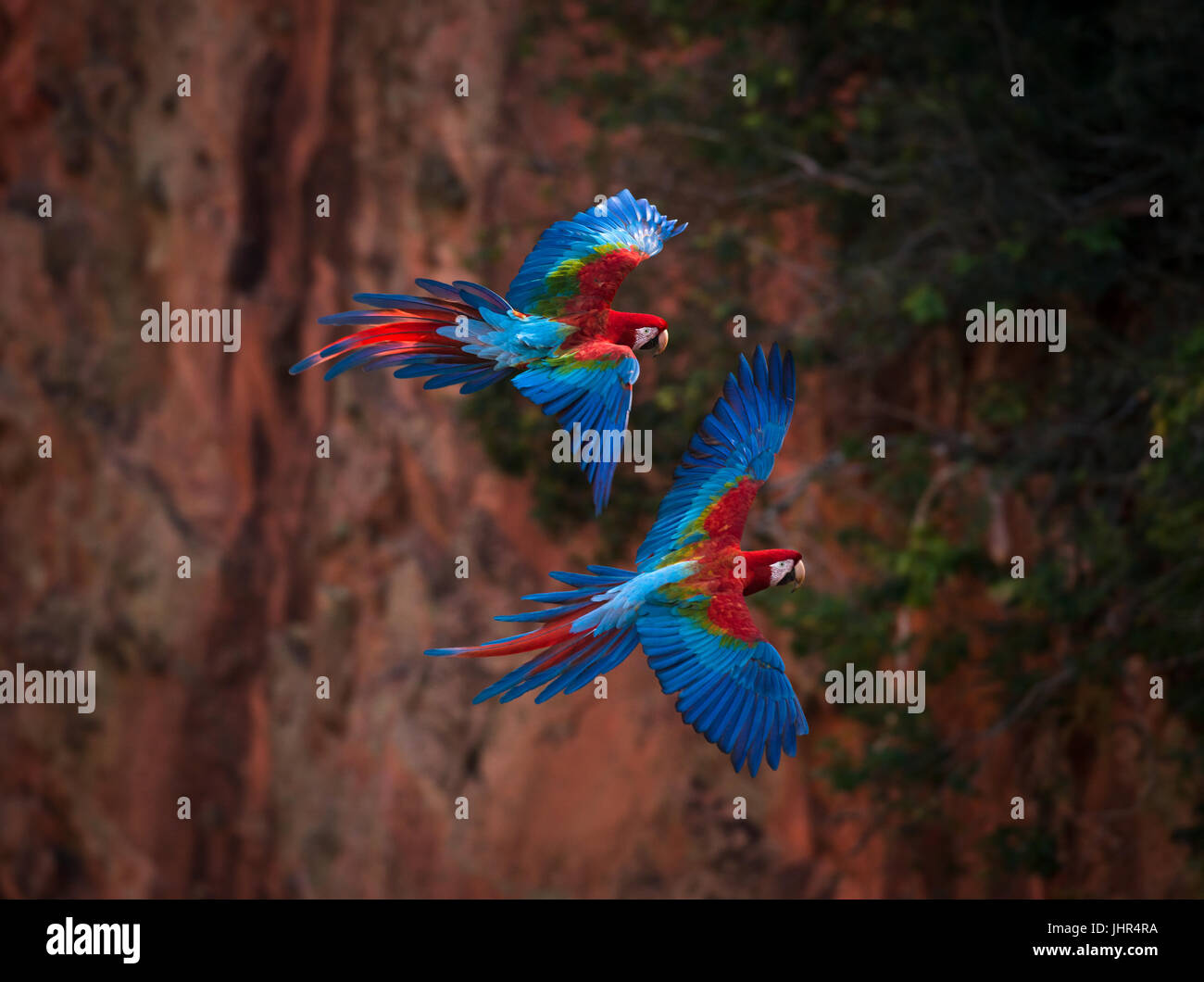 A pair of Red-and-green Macaws flying inside a sinkhole Stock Photo