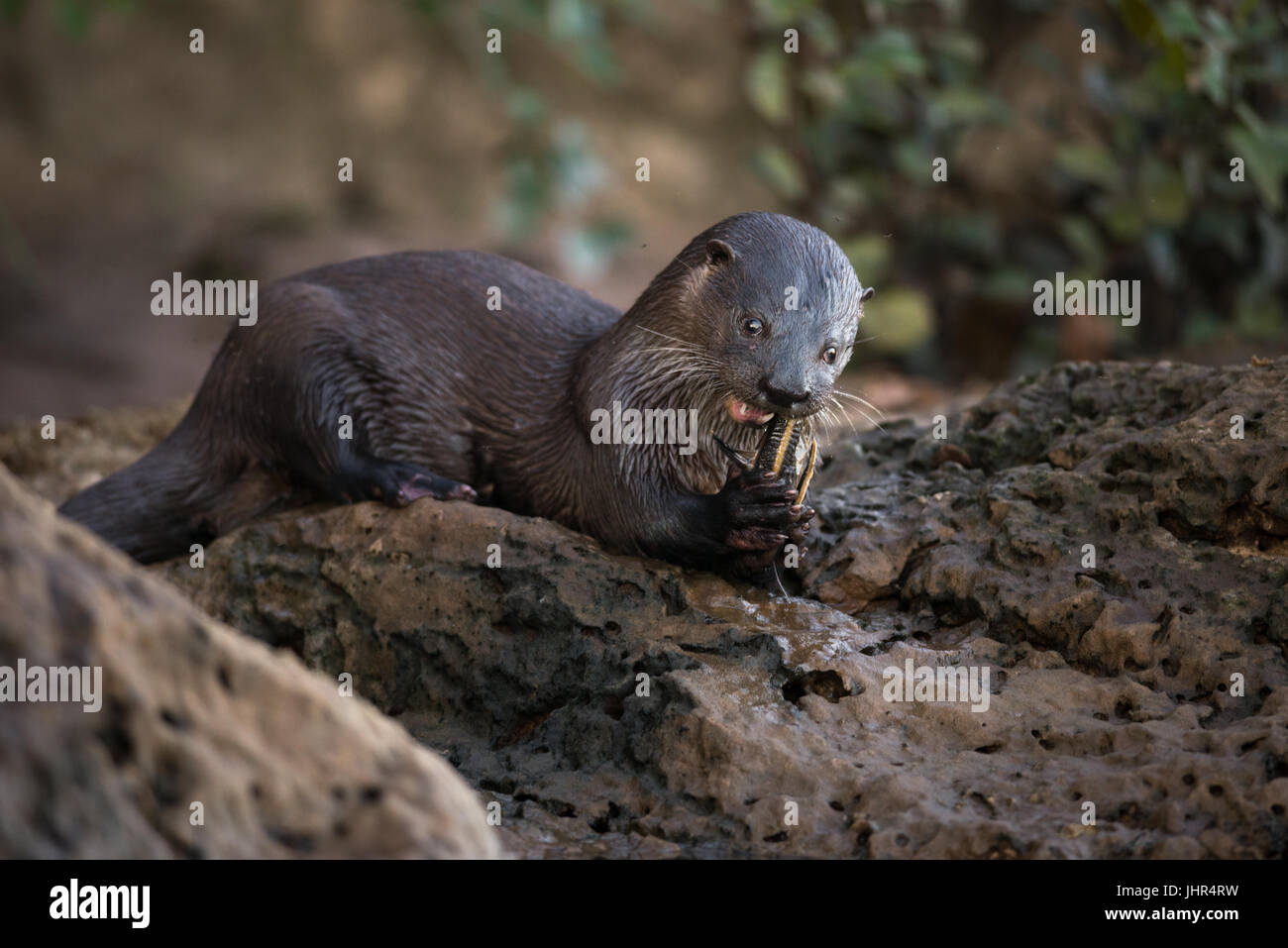 A Neotropical River Otter eating a fish Stock Photo