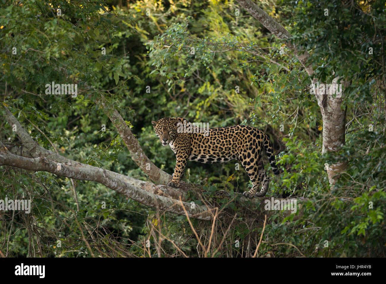 A female Jaguar up on a tree Stock Photo