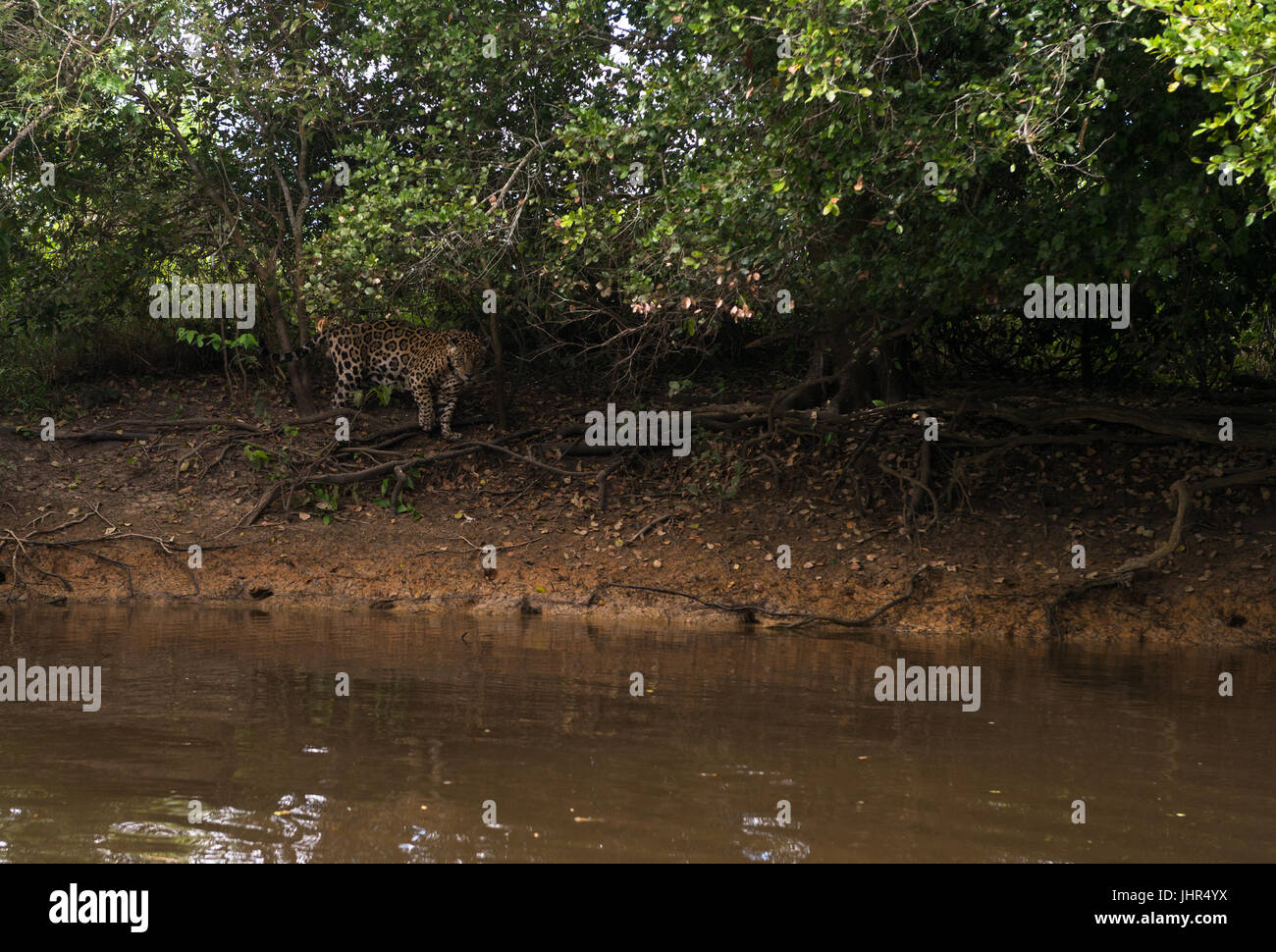 A Jaguar stalking the shorelines of a Pantanal river Stock Photo