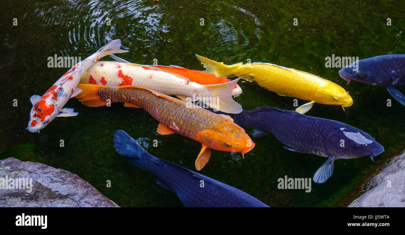 Koi fish on the pond in kanazawa japan koi fish are for Colorful pond fish