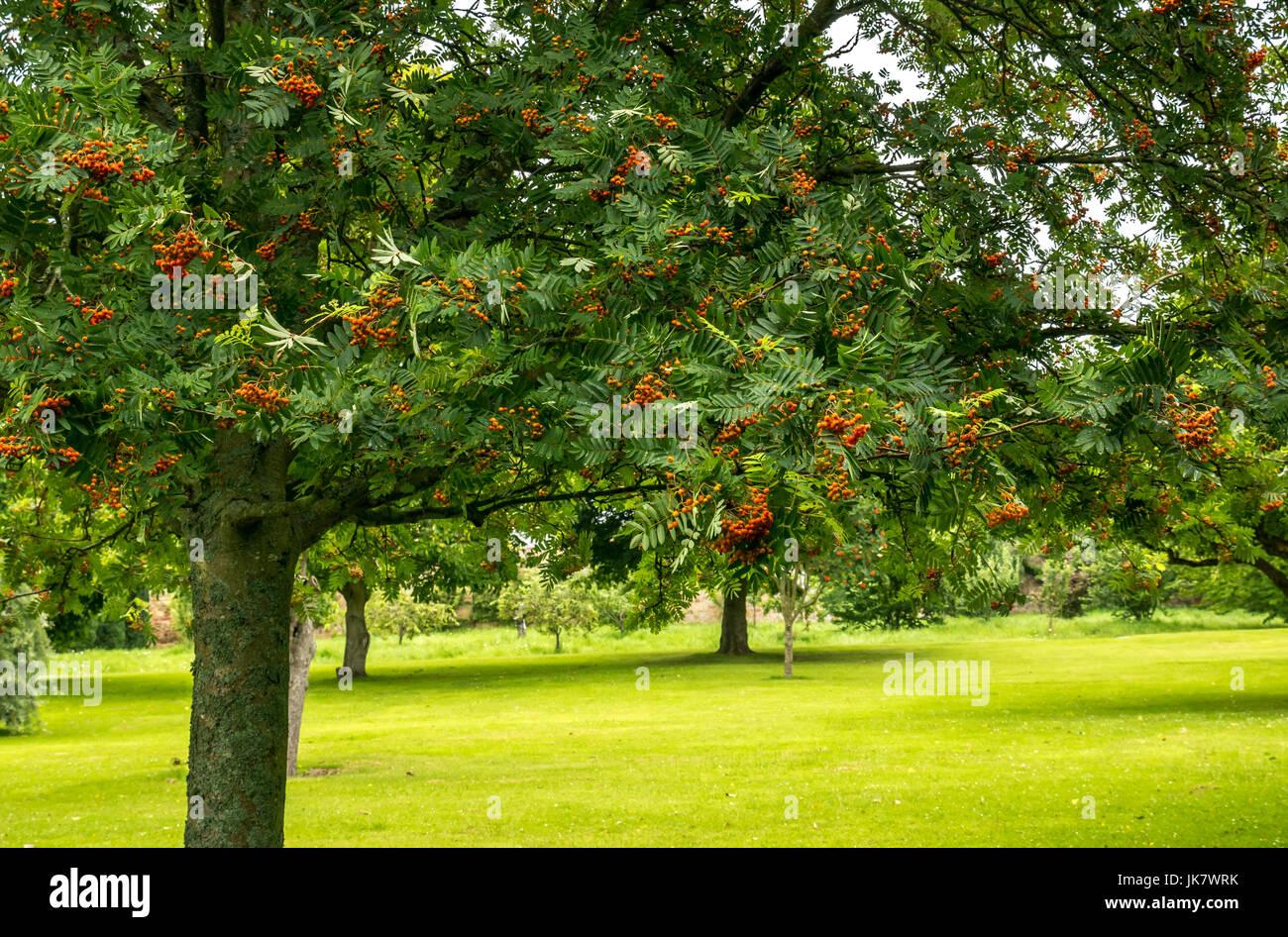 rowan-tree-and-lawn-in-st-marys-pleasanc