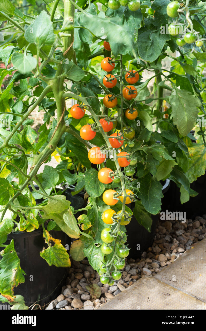 tomato-sungold-f1-growing-in-a-greenhous
