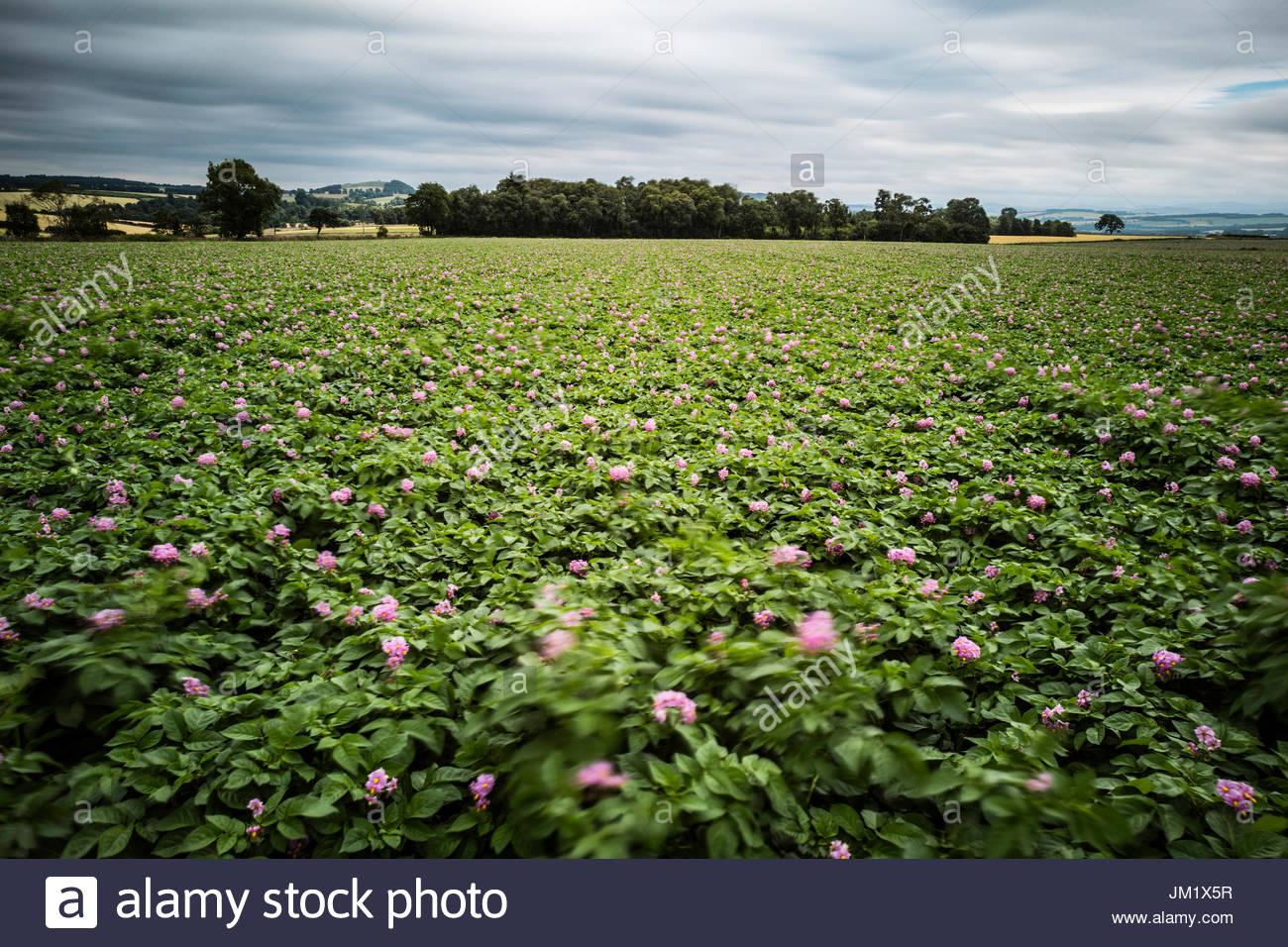 Purple Flower Potato Stock Photos & Purple Flower Potato ...