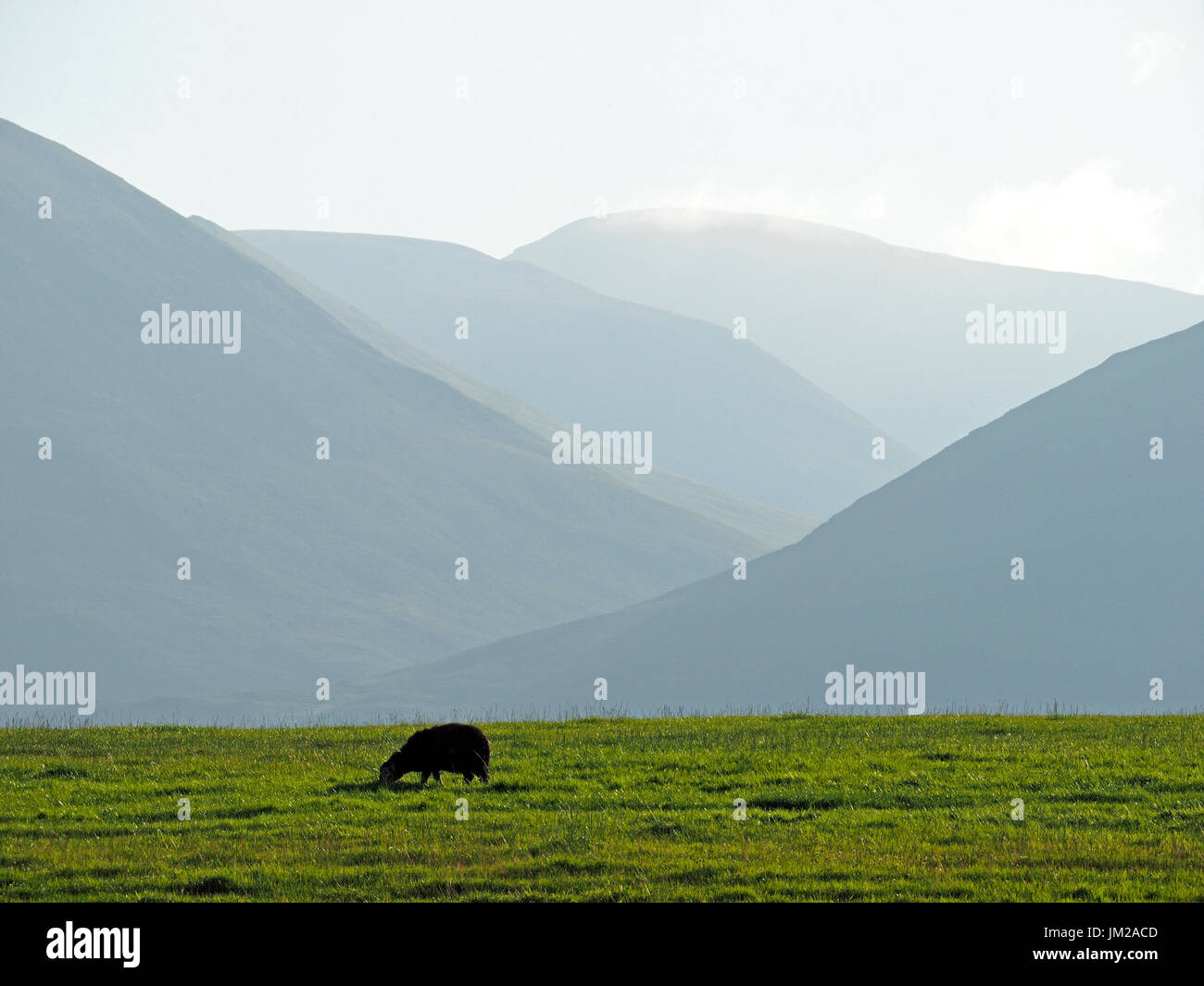 Lake District, UK. 25th July, 2017. A Herdwick sheep grazes in front of receding hils in evening light in the quintessentially - Stock Image