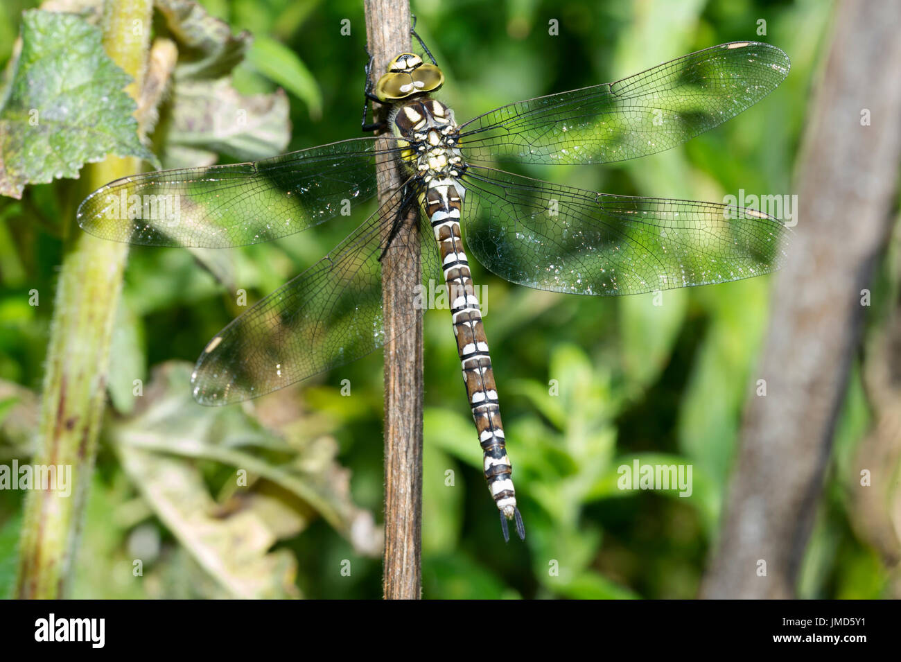A Southern Hawker (Aeshna cyanea) Dragonfly drying out after a summer storm in the East Yorkshire Countryside - Stock Image