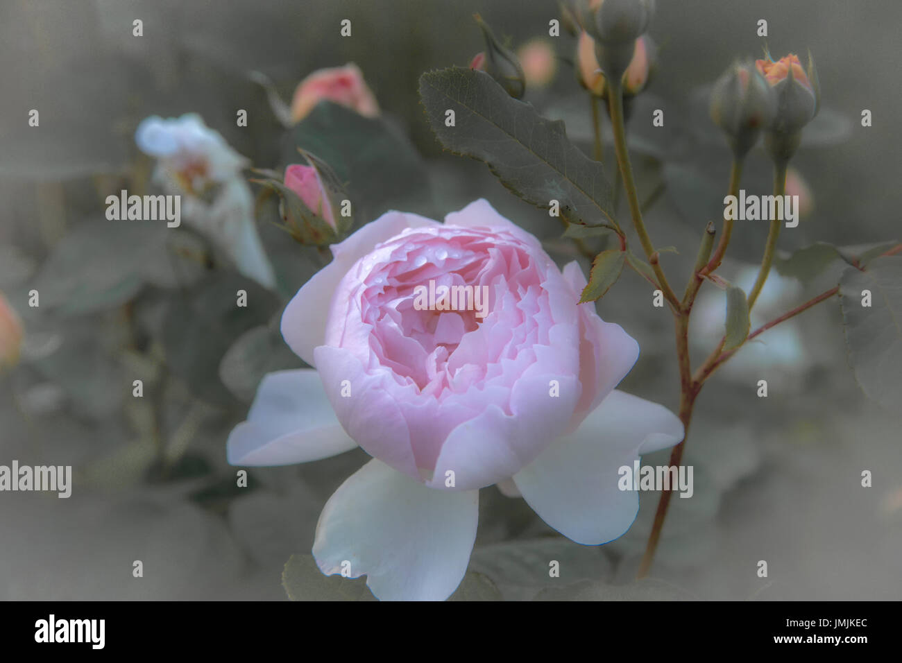 Antique rose garden gardening stock photos antique rose for What colour roses can you get