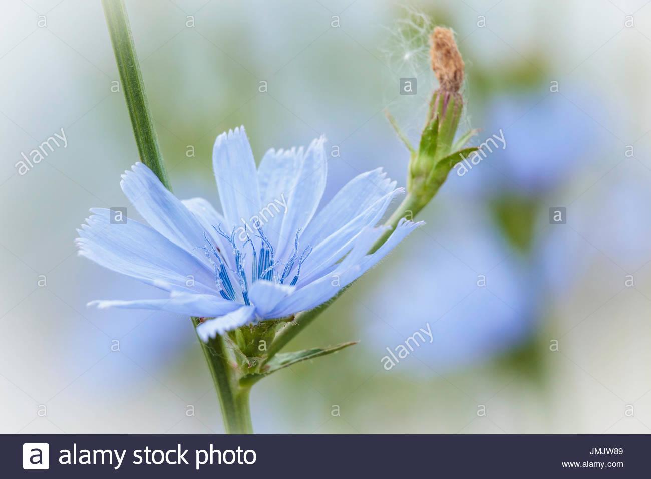 chicory Cichorium intybus Asteraceae flower wildflower blue daisy blue dandelion blue sailors blue weed bunk coffeeweed - Stock Image